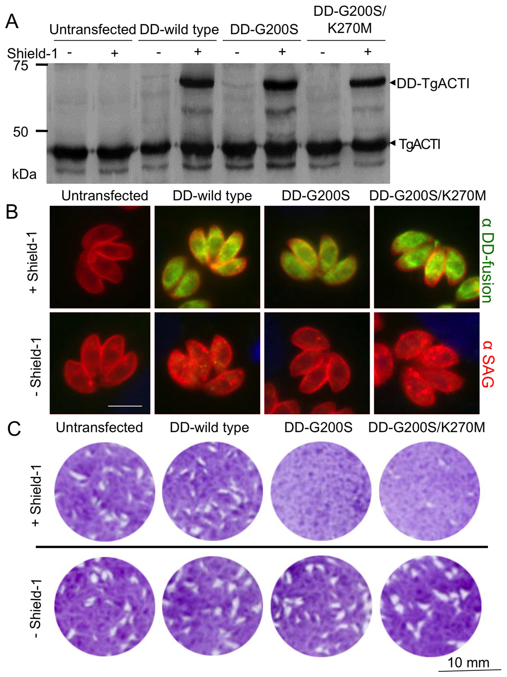 Expression of degradation domain (DD)-tagged TgACTI alleles in <i>Toxoplasma</i>.