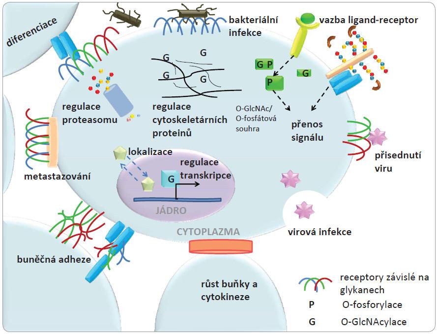 Na obrázku je znázorněna lokalizace glykanů v membráně, cytosolu a jádře buňky.