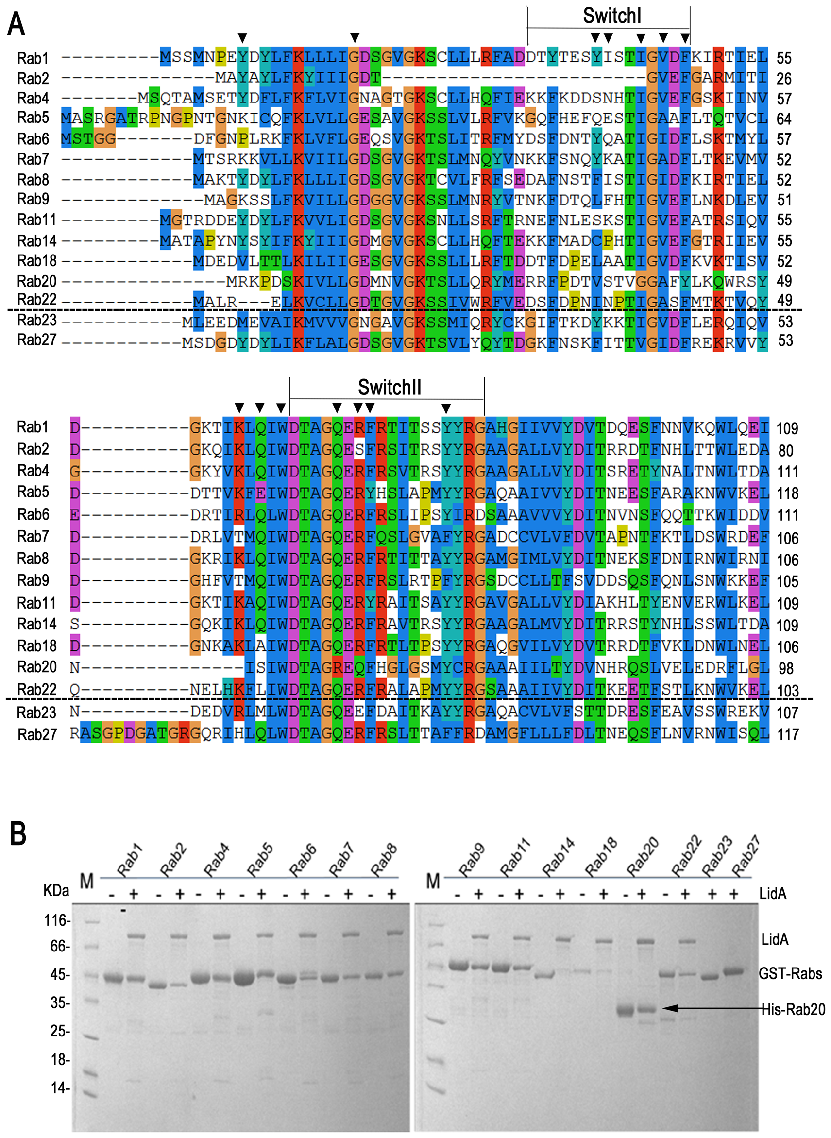13 kinds of Rab GTPase family members could be recognized by LidA <i>in vitro</i>.