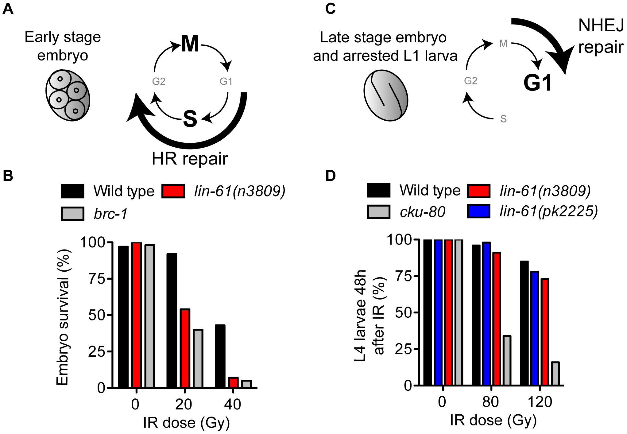 LIN-61 is needed for HR, but not NHEJ, in somatic cells.