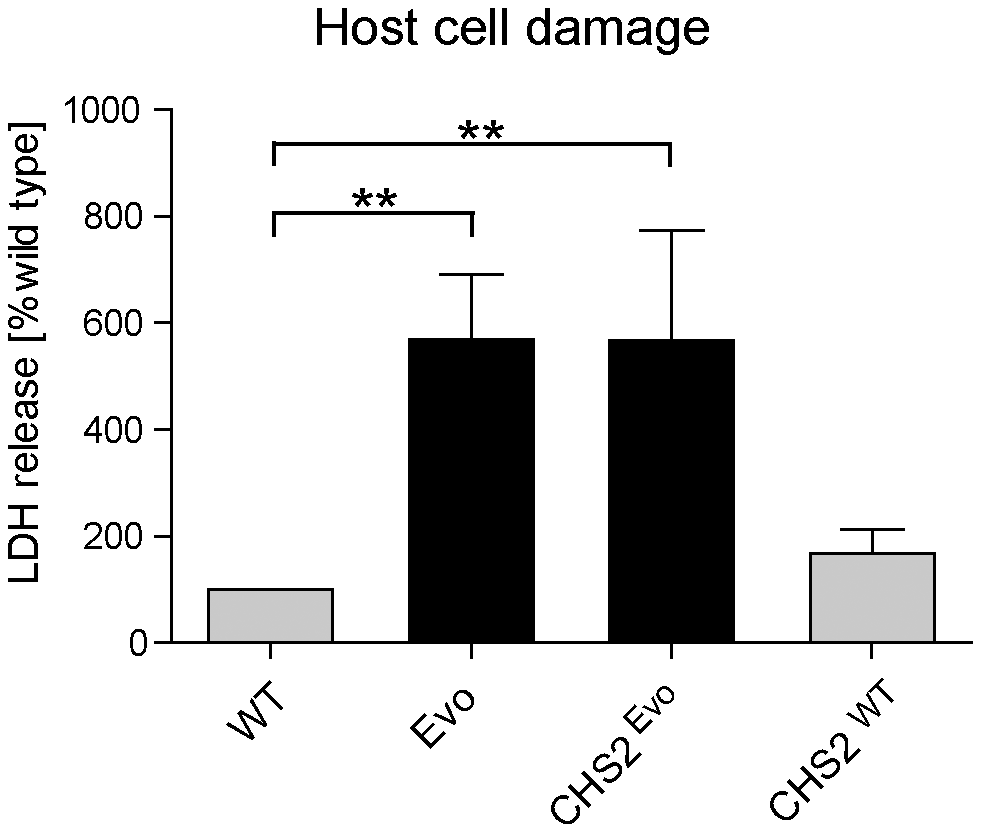 Introduction of a single nucleotide exchange into <i>CHS2</i> results in increased macrophage damage.