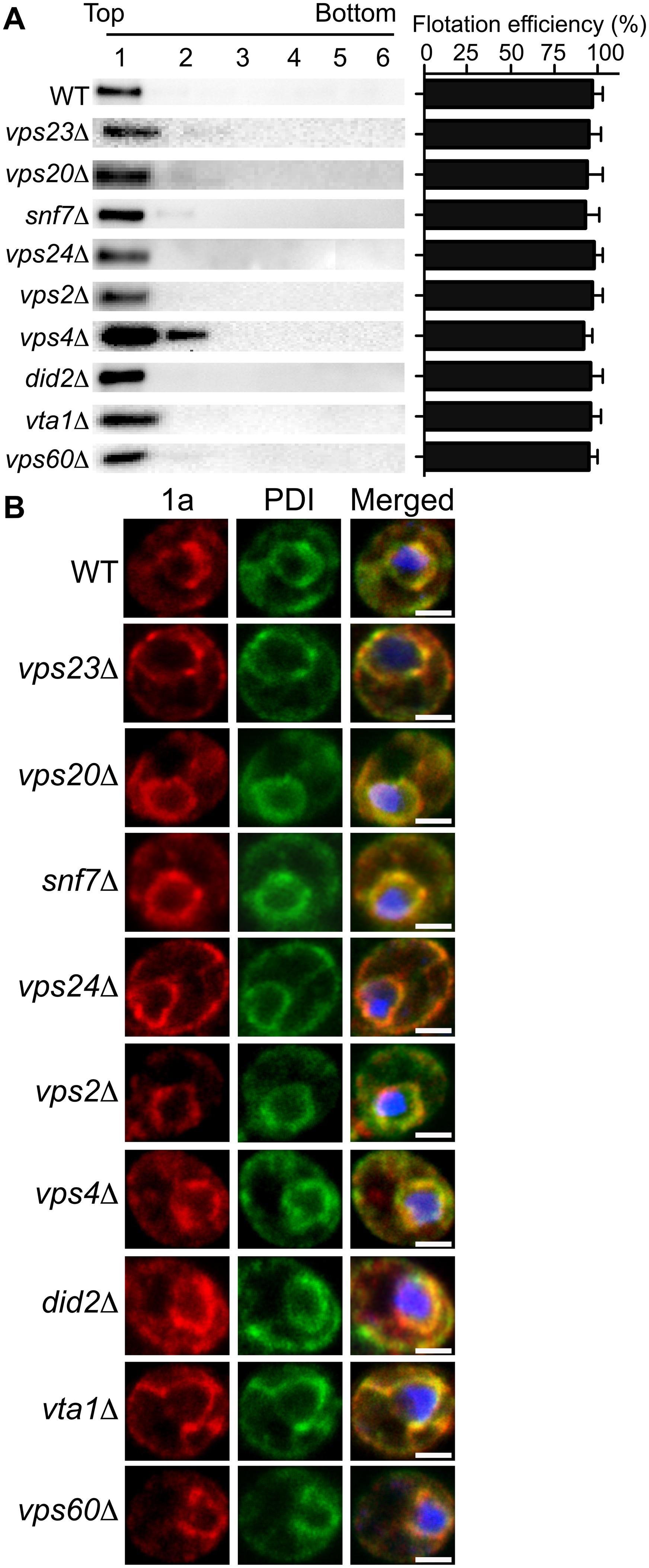 BMV 1a retains ER membrane localization in ESCRT deletion strains.