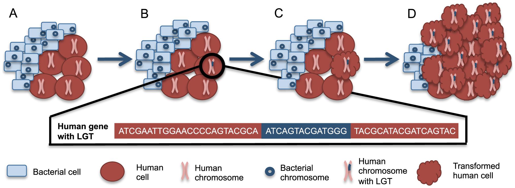 A scenario for bacteria-human LGT and carcinogenesis.