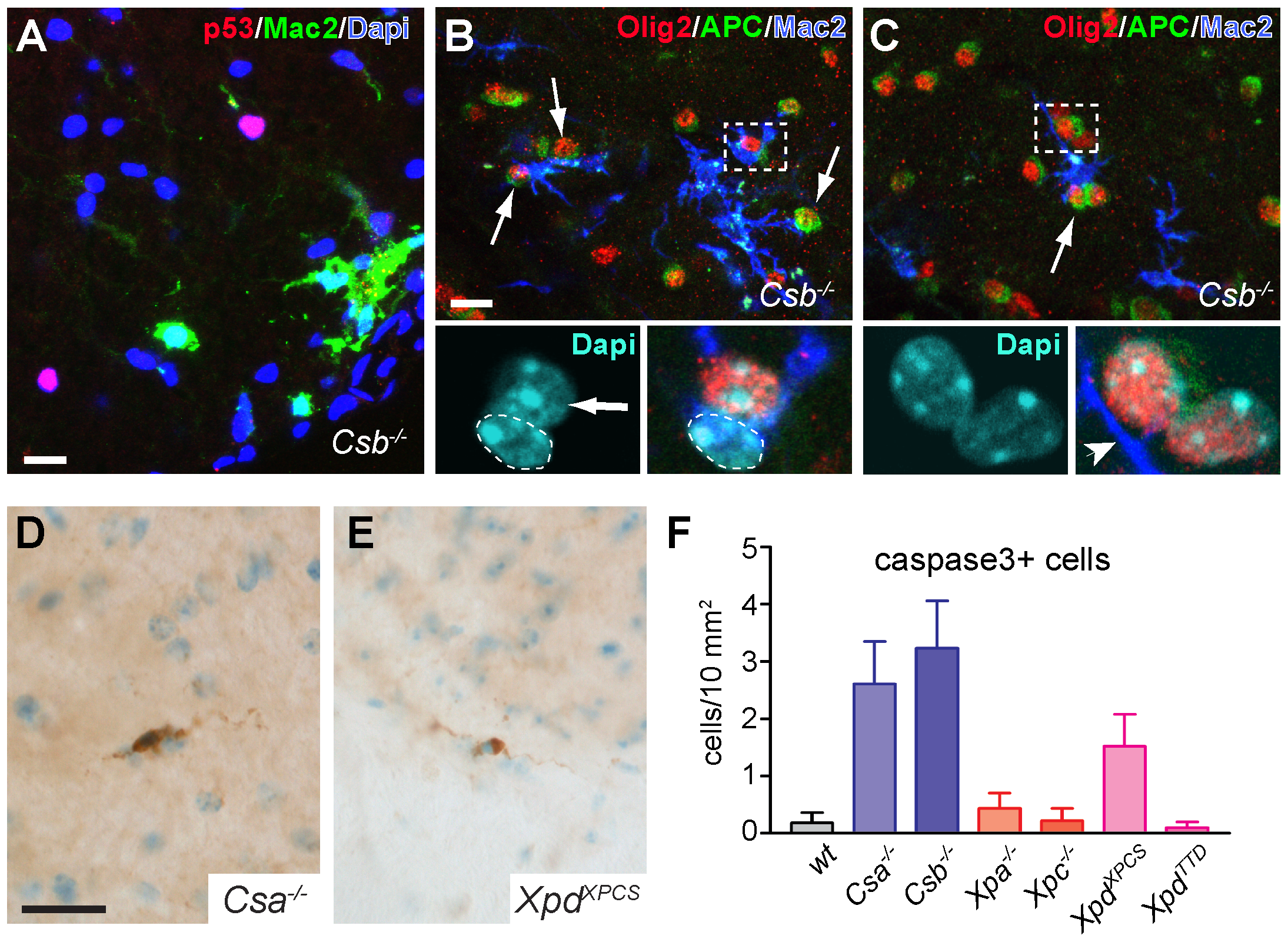 Mac2-positive microglia cells enwrap oligodendrocytes in CS mice.