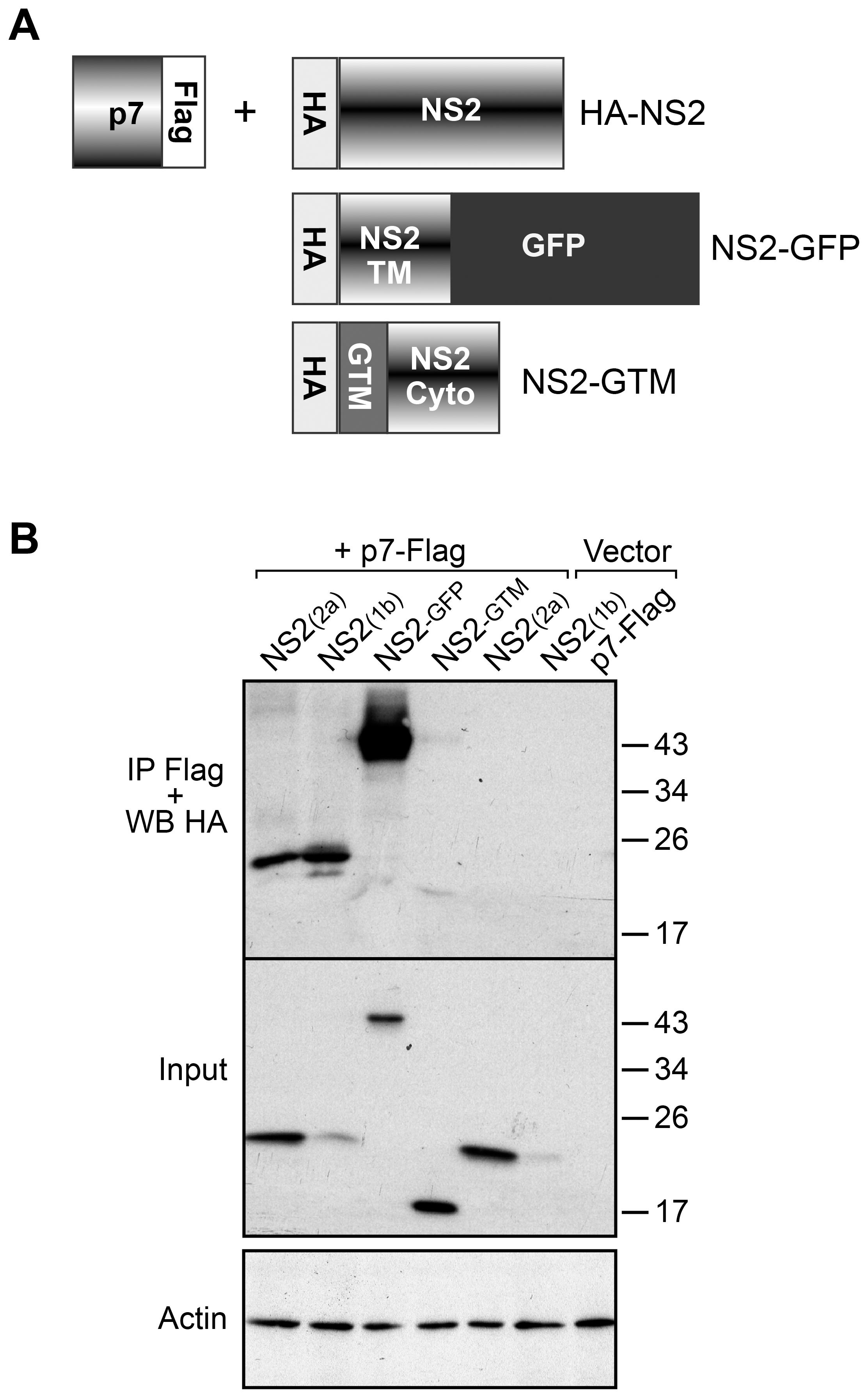 NS2 and p7 interact in a co-immunoprecipitation assay.