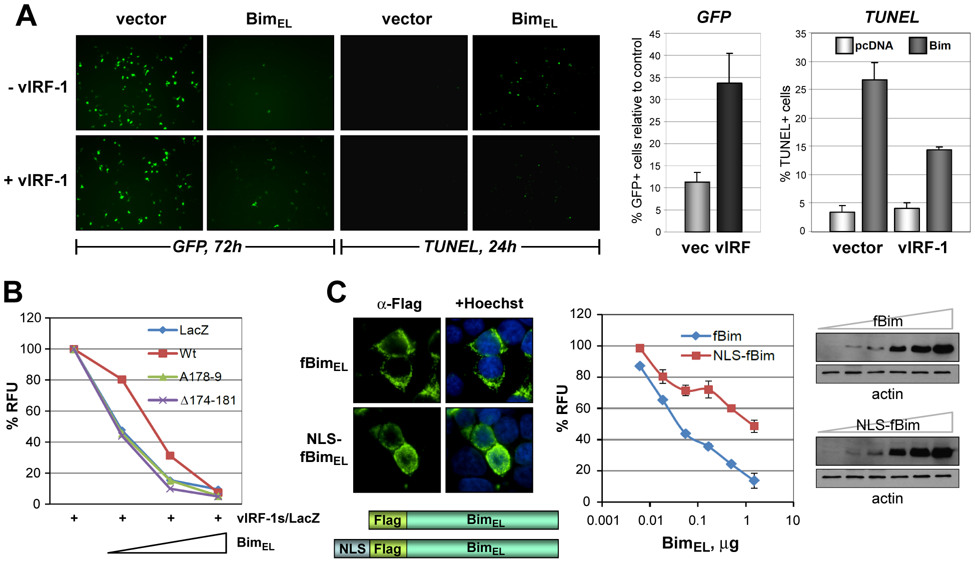 Functional significance of vIRF-1:Bim binding and Bim nuclear translocation.