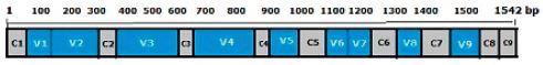 Konzervované (C1–C9) a hypervariabilní (V1–V9) regiony v genu pro 16S rRNA [21, 30, upraveno]