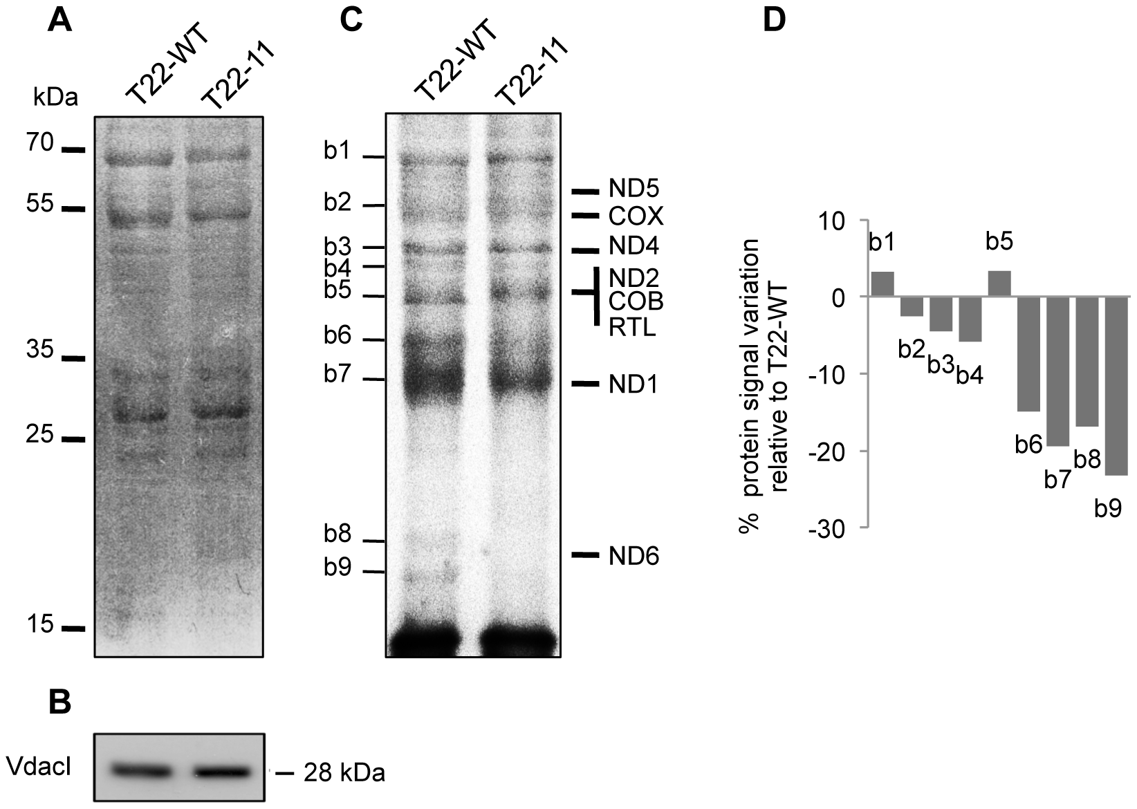 Mitochondrial <i>in organello</i> protein synthesis of T22-11 transformant.