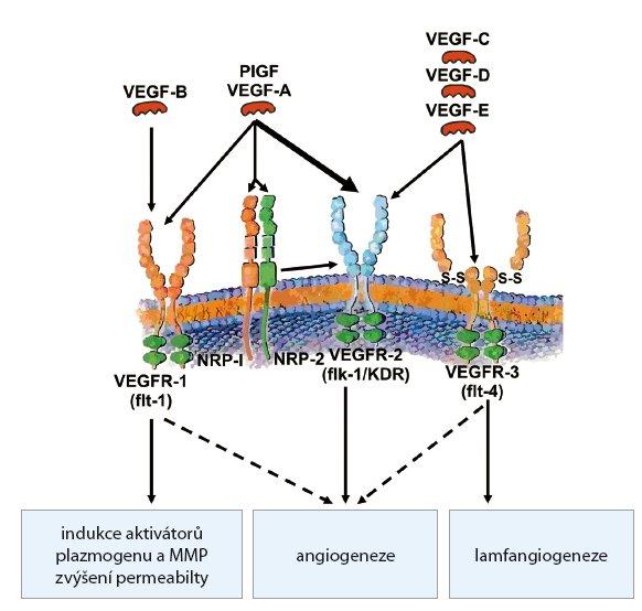 Rodina VEGF a receptory pro VEGF.