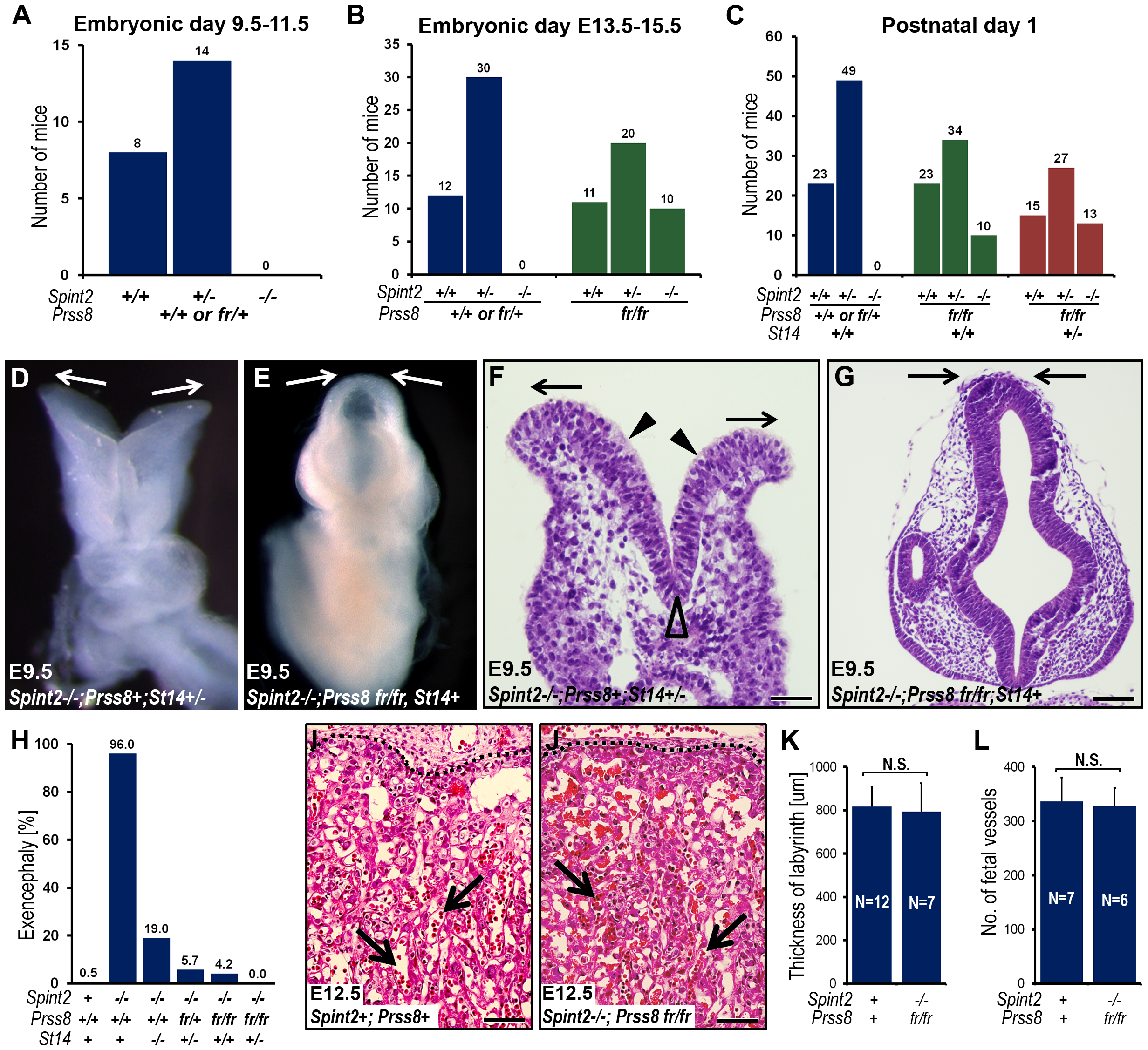 Reduced prostasin activity restores placental differentiation, embryonic survival, and neural tube closure in HAI-2–deficient mice.