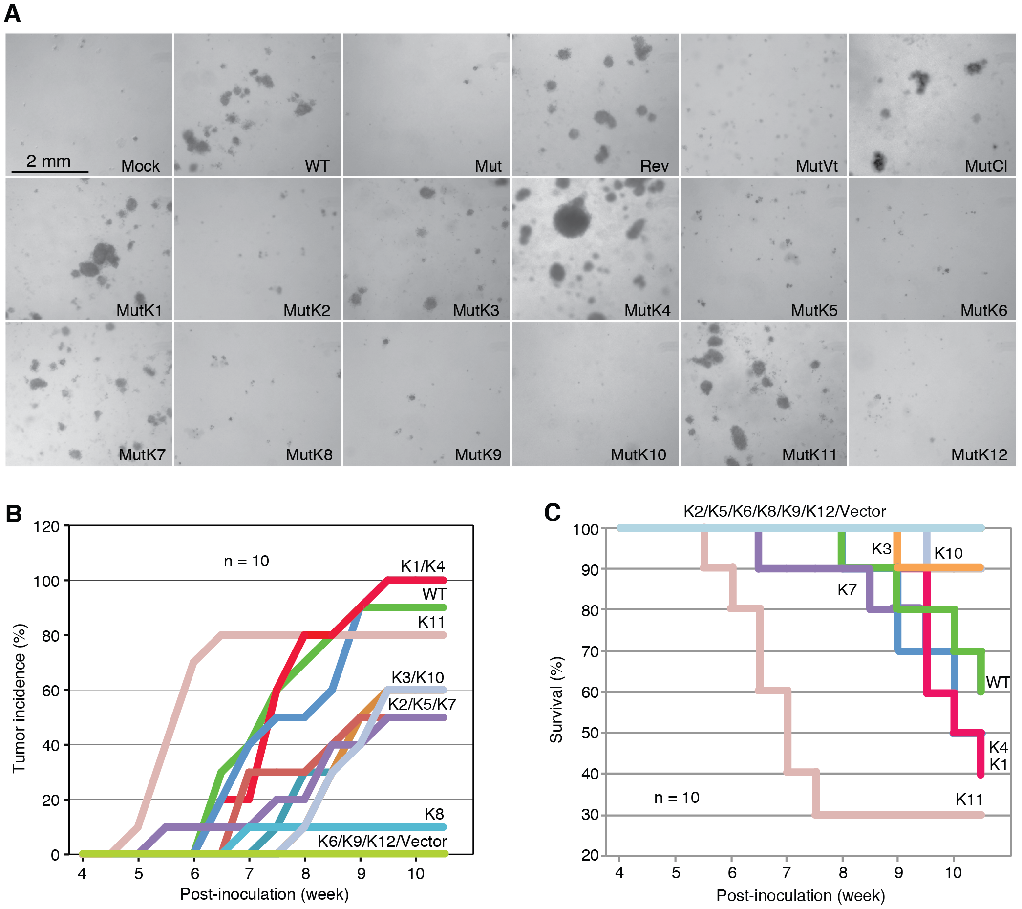 Multiple KSHV miRs rescue cellular transformation and tumorigenesis of the Mut virus.
