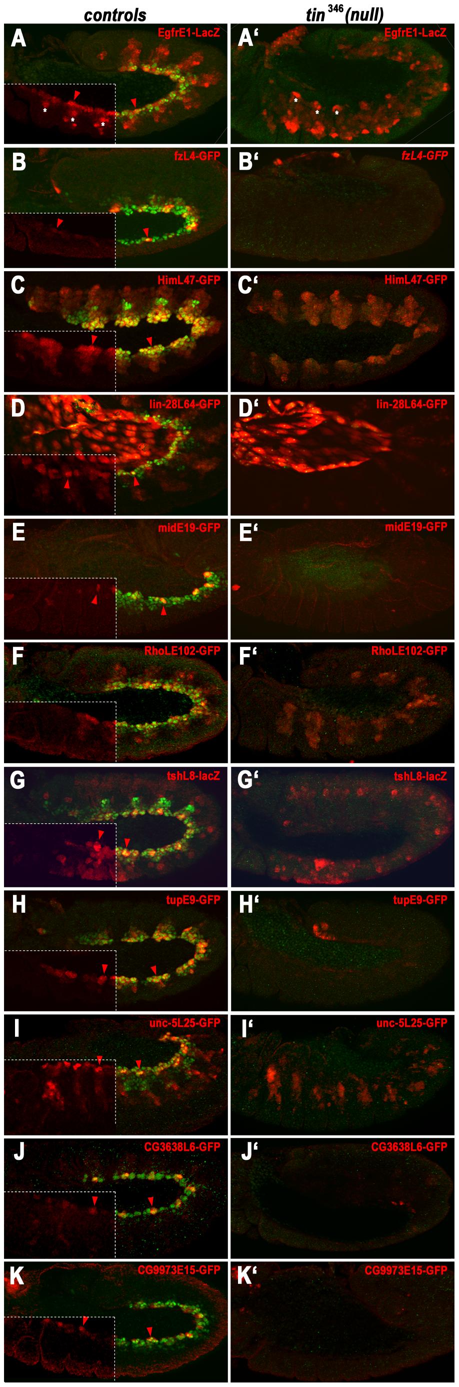 Dependency of early cardiac enhancer activities on <i>tin</i>.