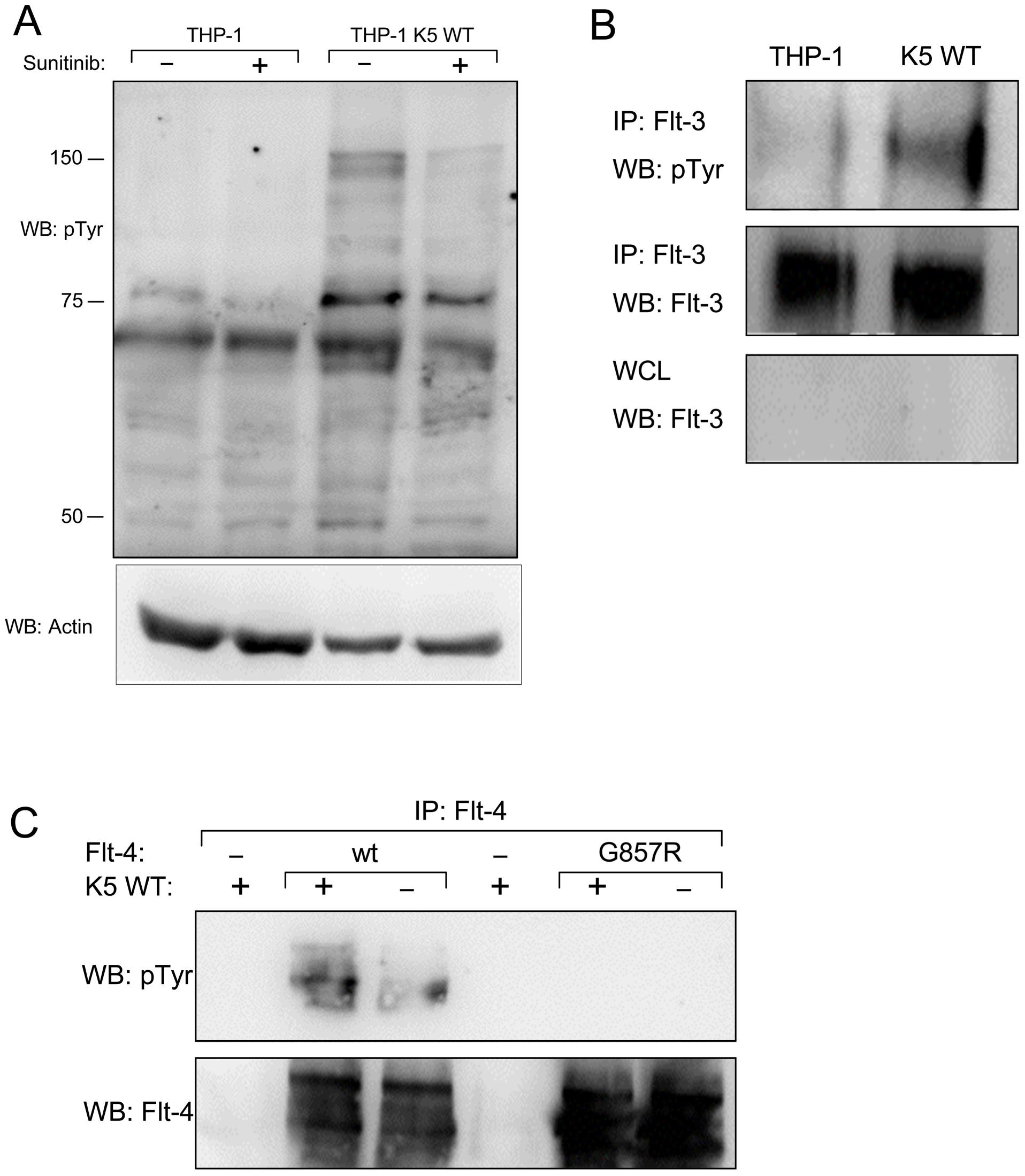 THP-1 cells stably expressing K5 WT have sunitinib-sensitive increased RTK phosphorylation.