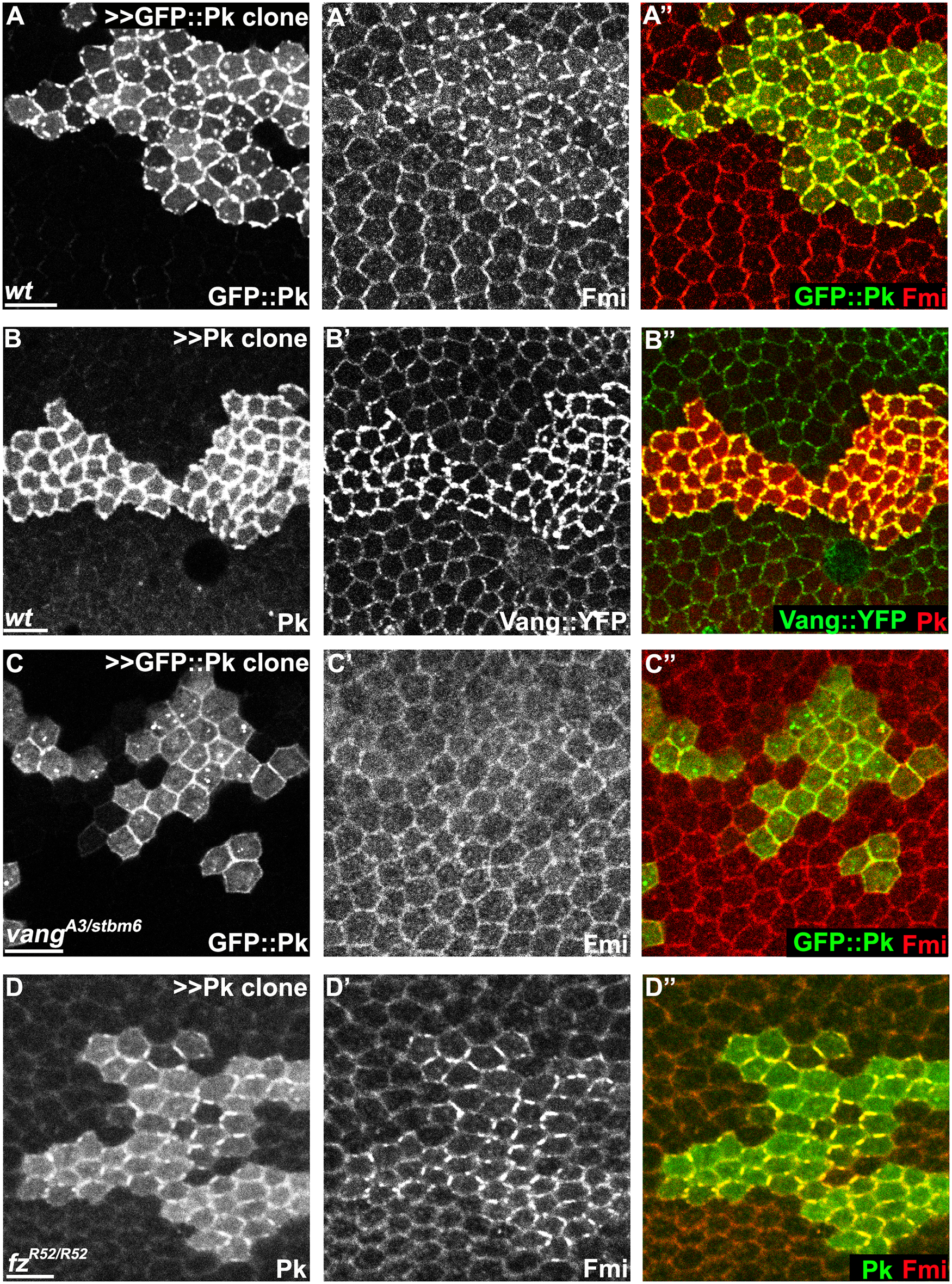 Pk-mediated apical clustering of core proteins requires Vang.