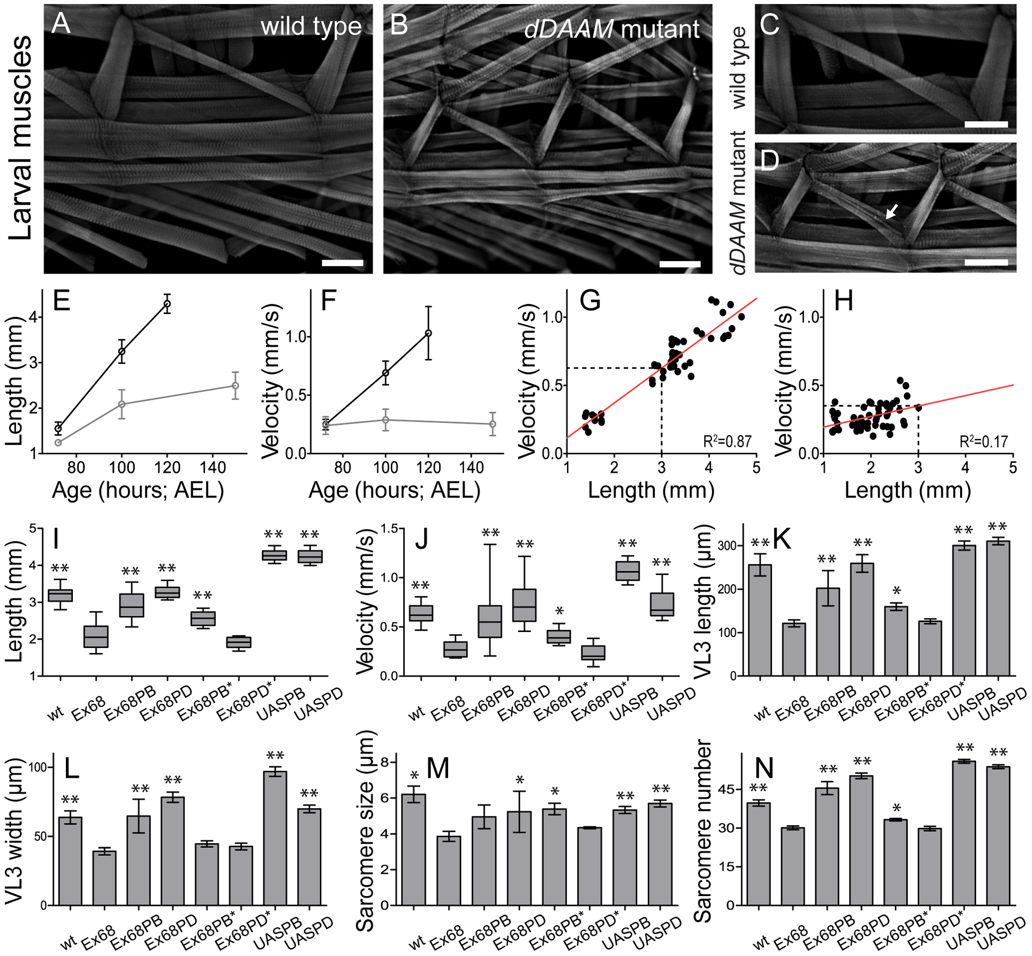 Structural and functional analysis of the larval body wall muscles.