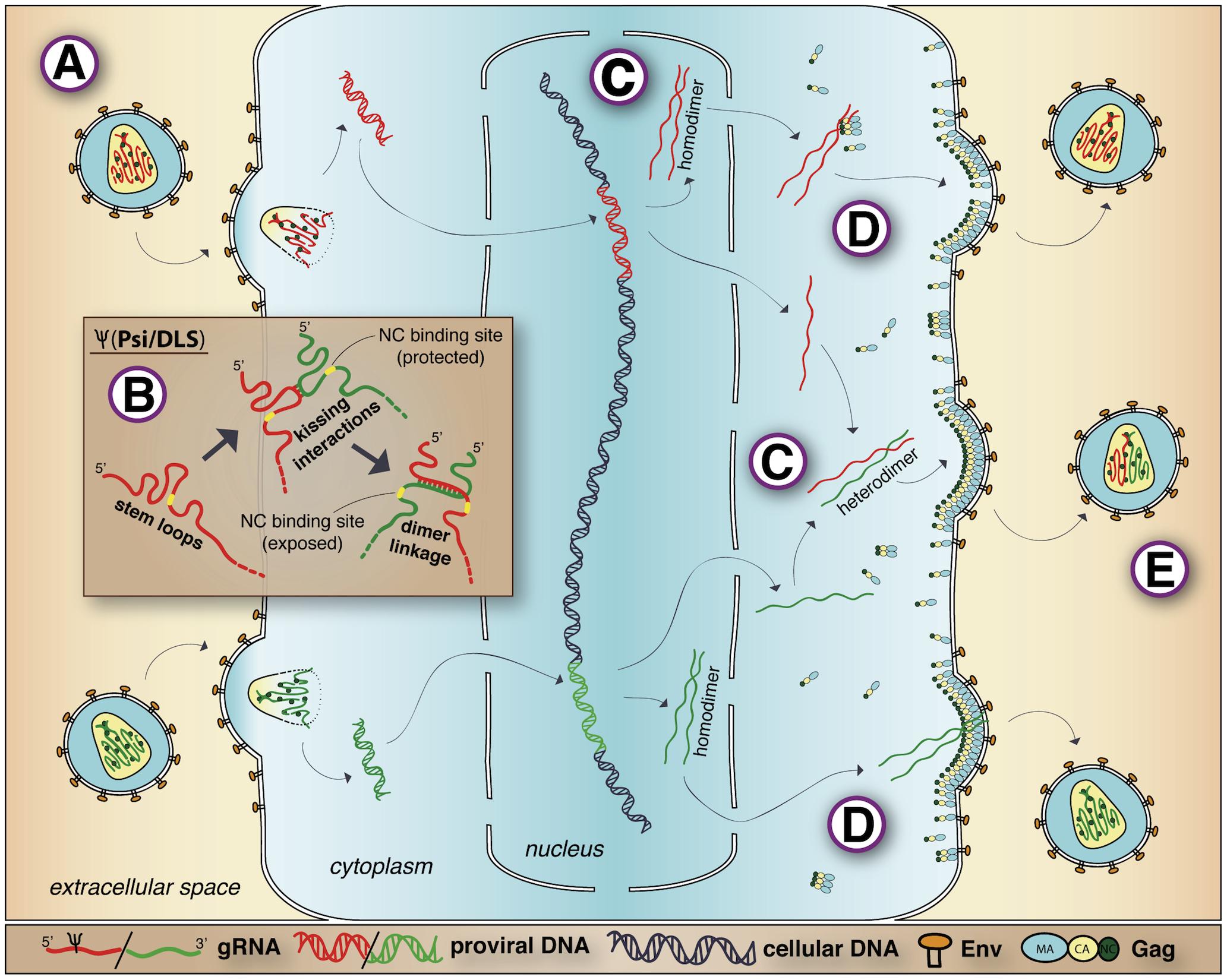 Retroviral RNA dimerization and packaging.