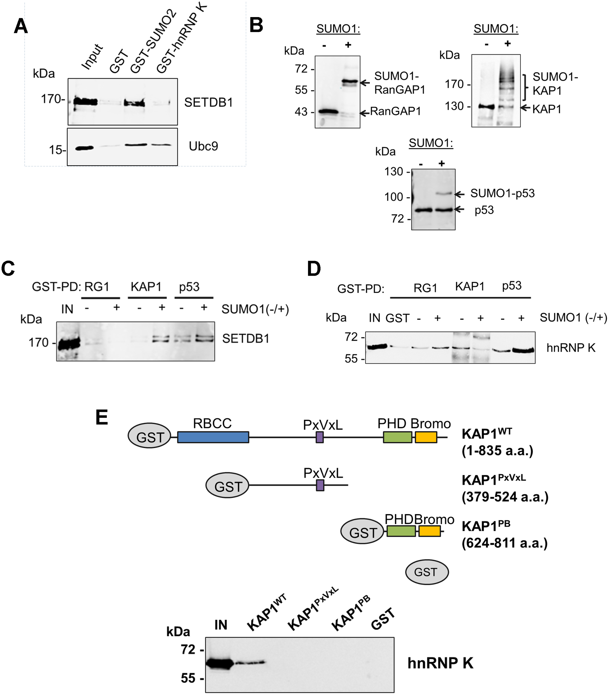 hnRNP K directly interacts with unmodified KAP1 in a region containing the RBCC domain.