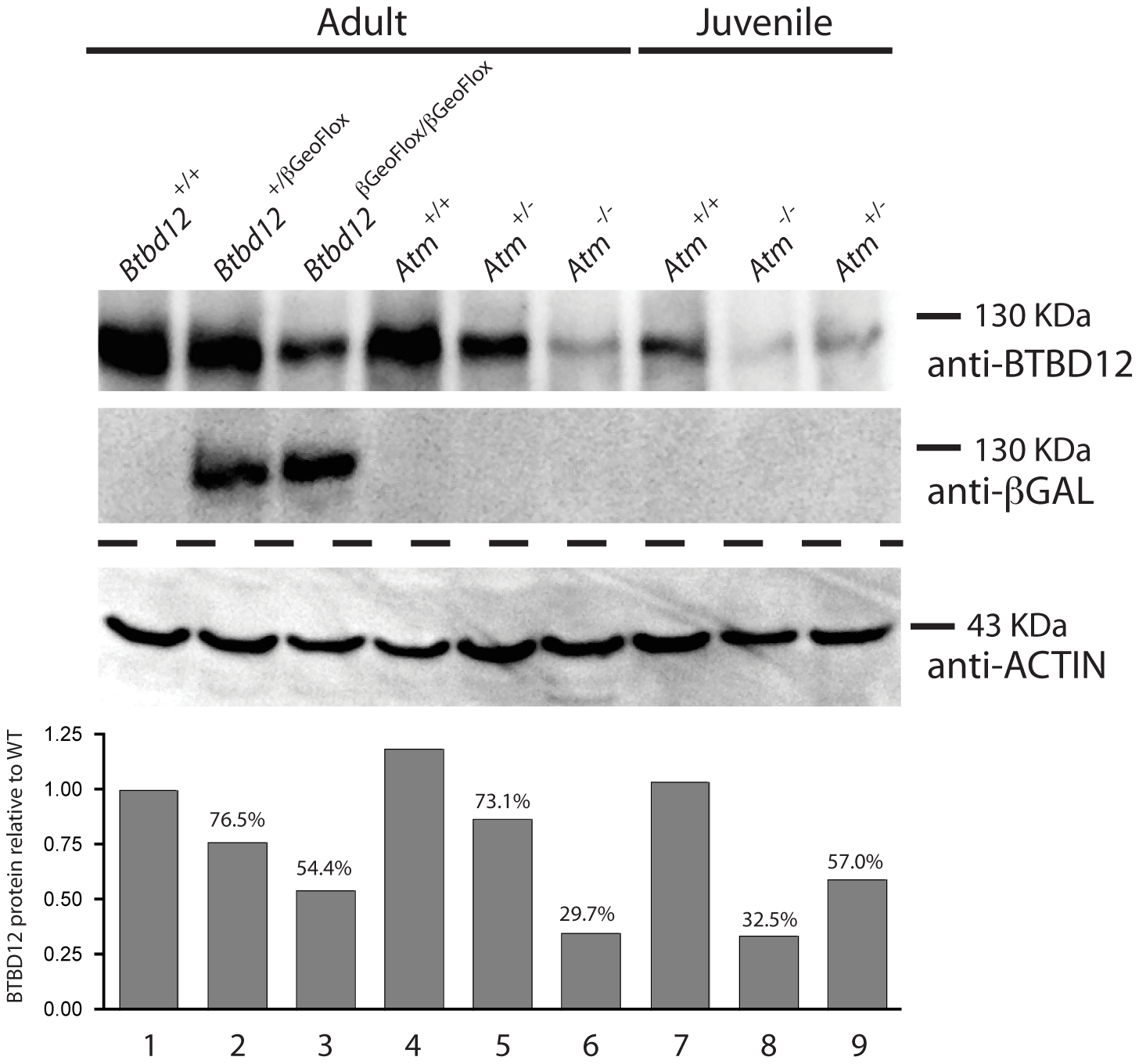 BTBD12 protein is down regulated in the <i>Btbd12<sup>βGeoFlox/βGeoFlox</sup></i> mutant and the <i>Atm</i> null mice.