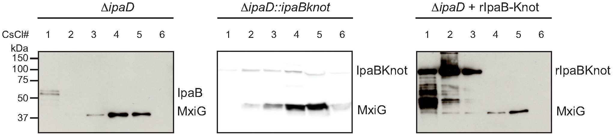 Co-localization of IpaB, IpaB-Knot and isolated NC.