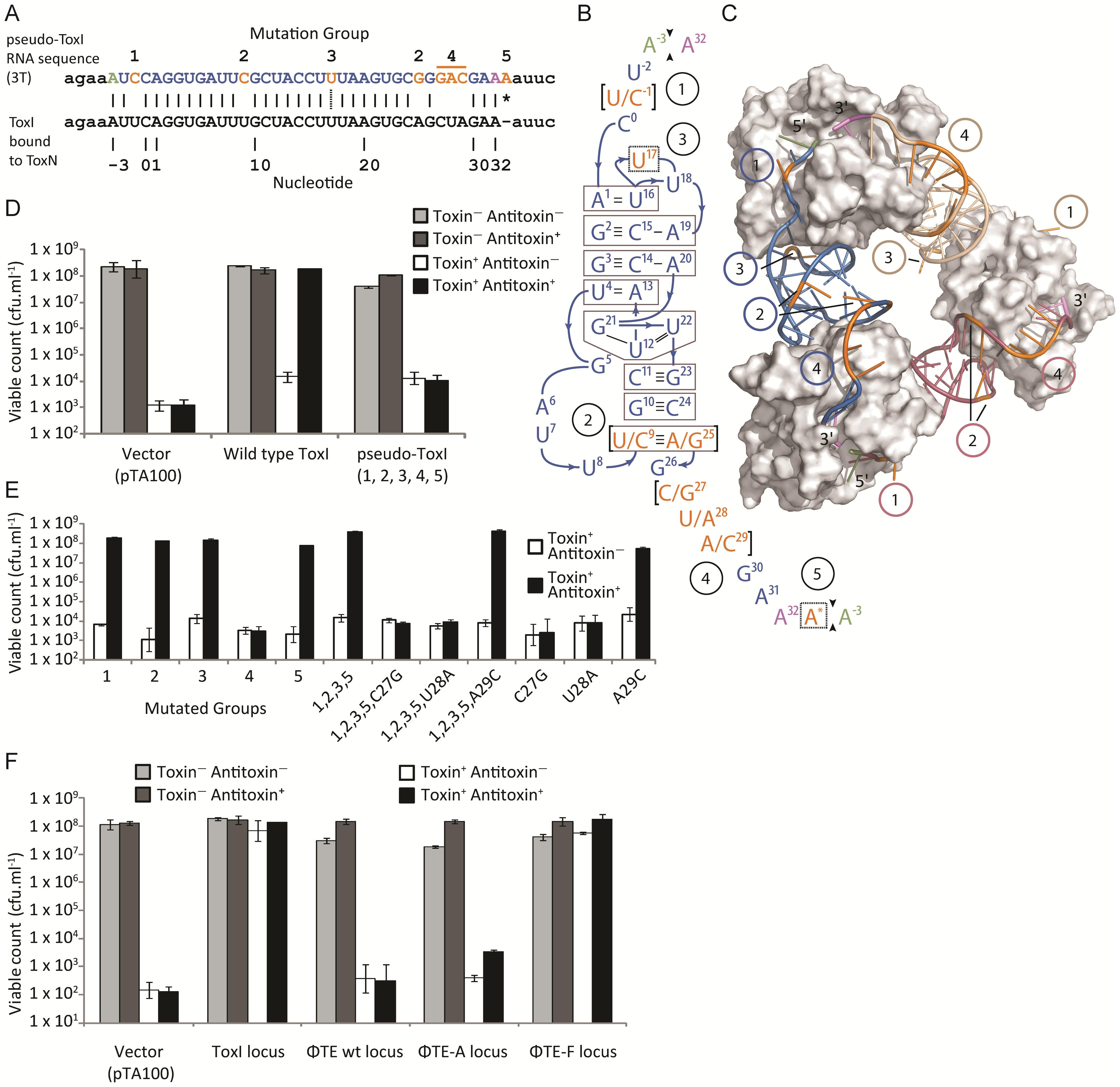 Analysis of pseudo-ToxI as a potential antitoxin.