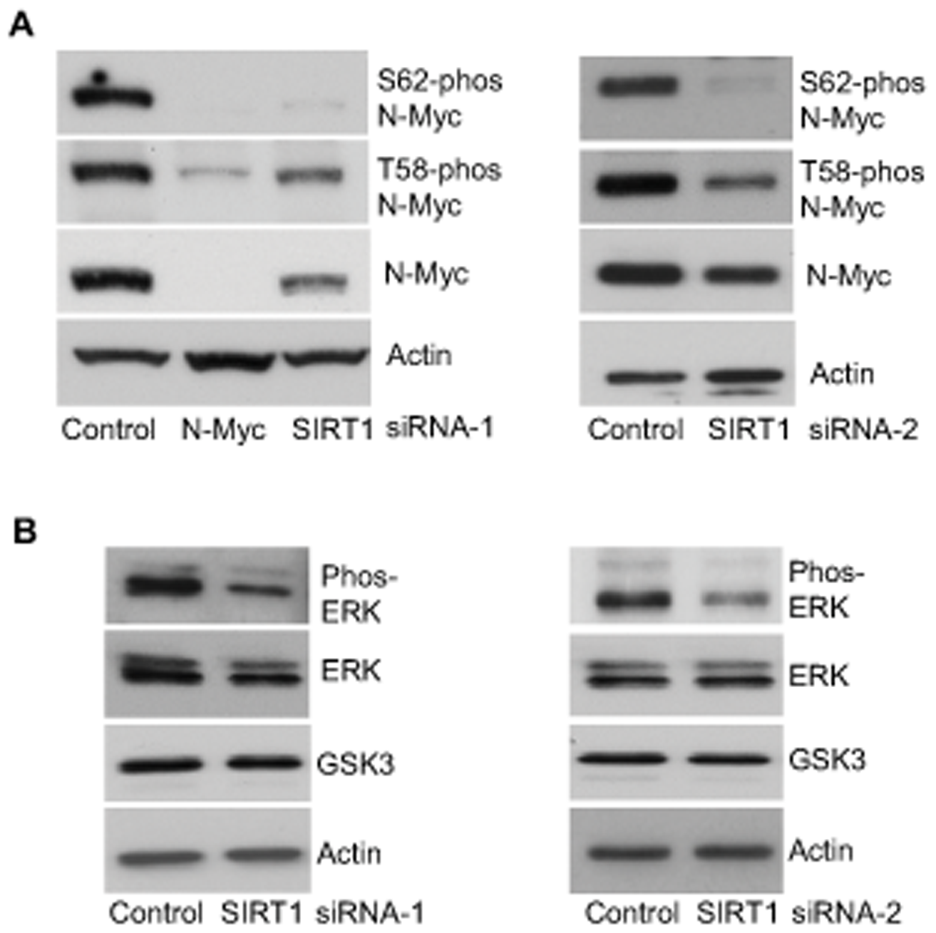 SIRT1 stabilizes N-Myc protein by promoting ERK protein phosphorylation and N-Myc protein phosphorylation at S62.