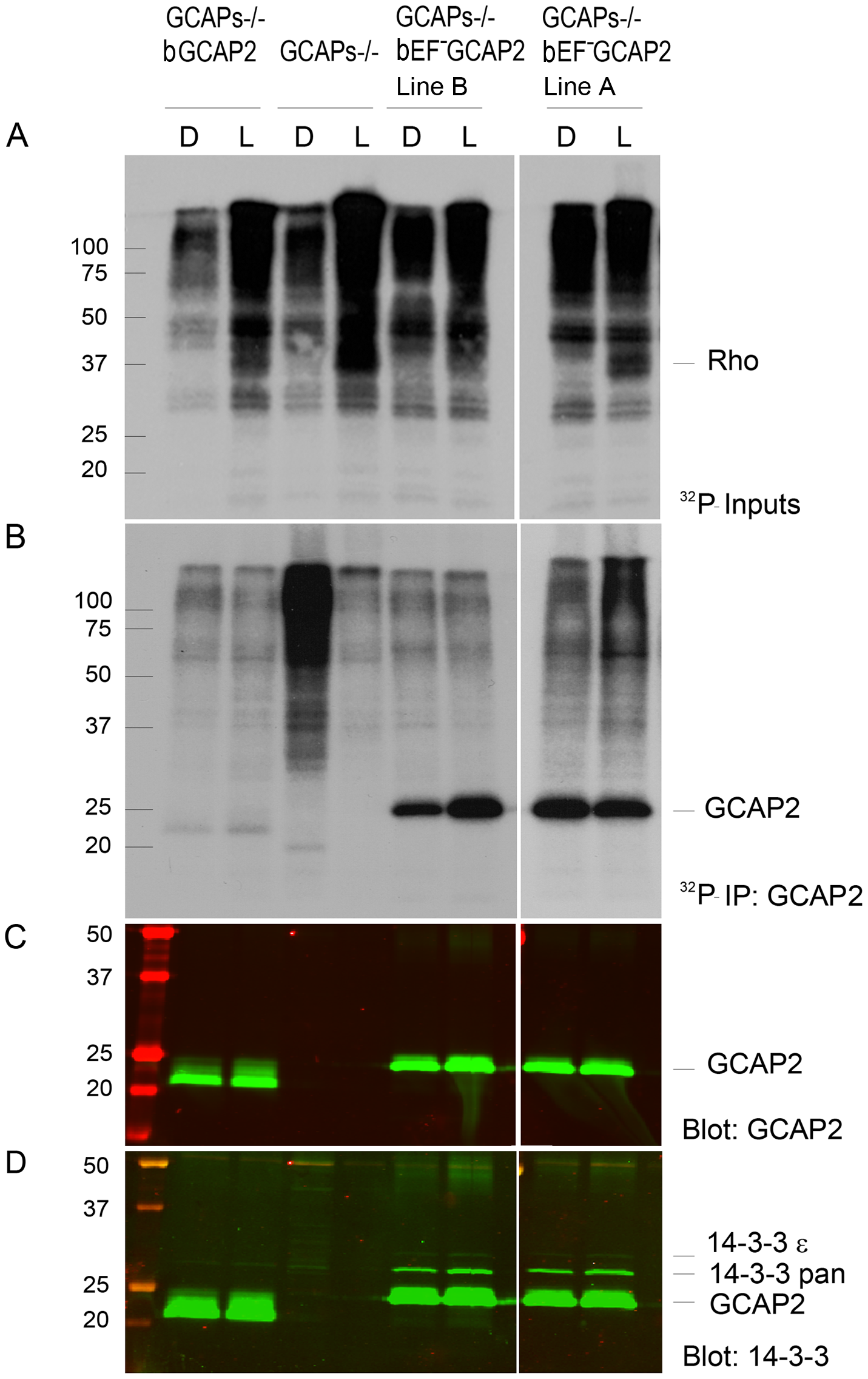 <sup>32</sup>P<sub>i</sub> metabolic labeling reveals phosphorylation of bEF<sup>−</sup>GCAP2 to a higher extent than bGCAP2 in living retinas.