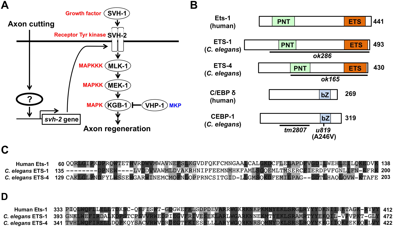Identification of transcription factors acting in JNK cascade in <i>C</i>. <i>elegans</i>.