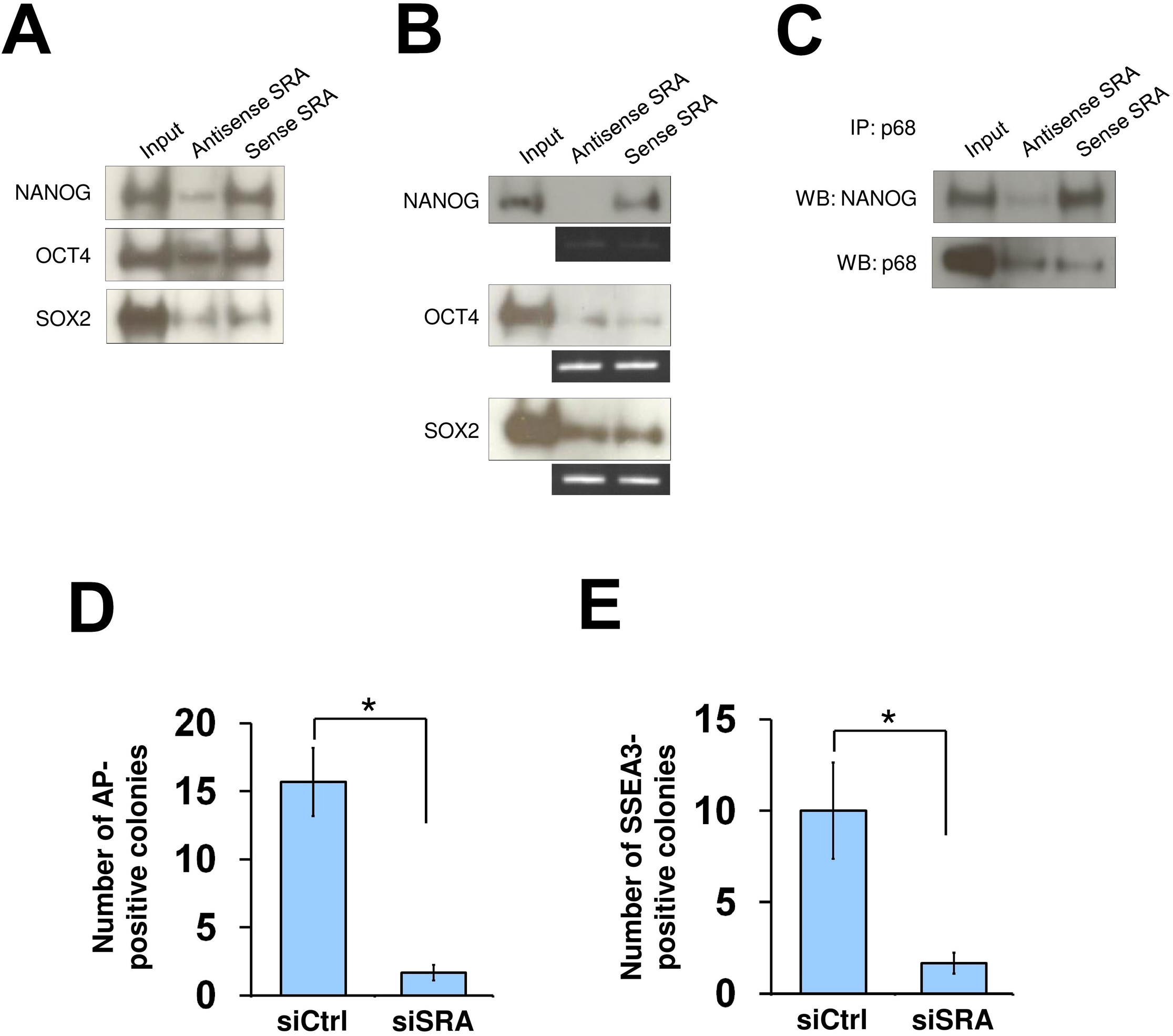 SRA directly interacts with NANOG and is important for reprogramming of iPS cells.