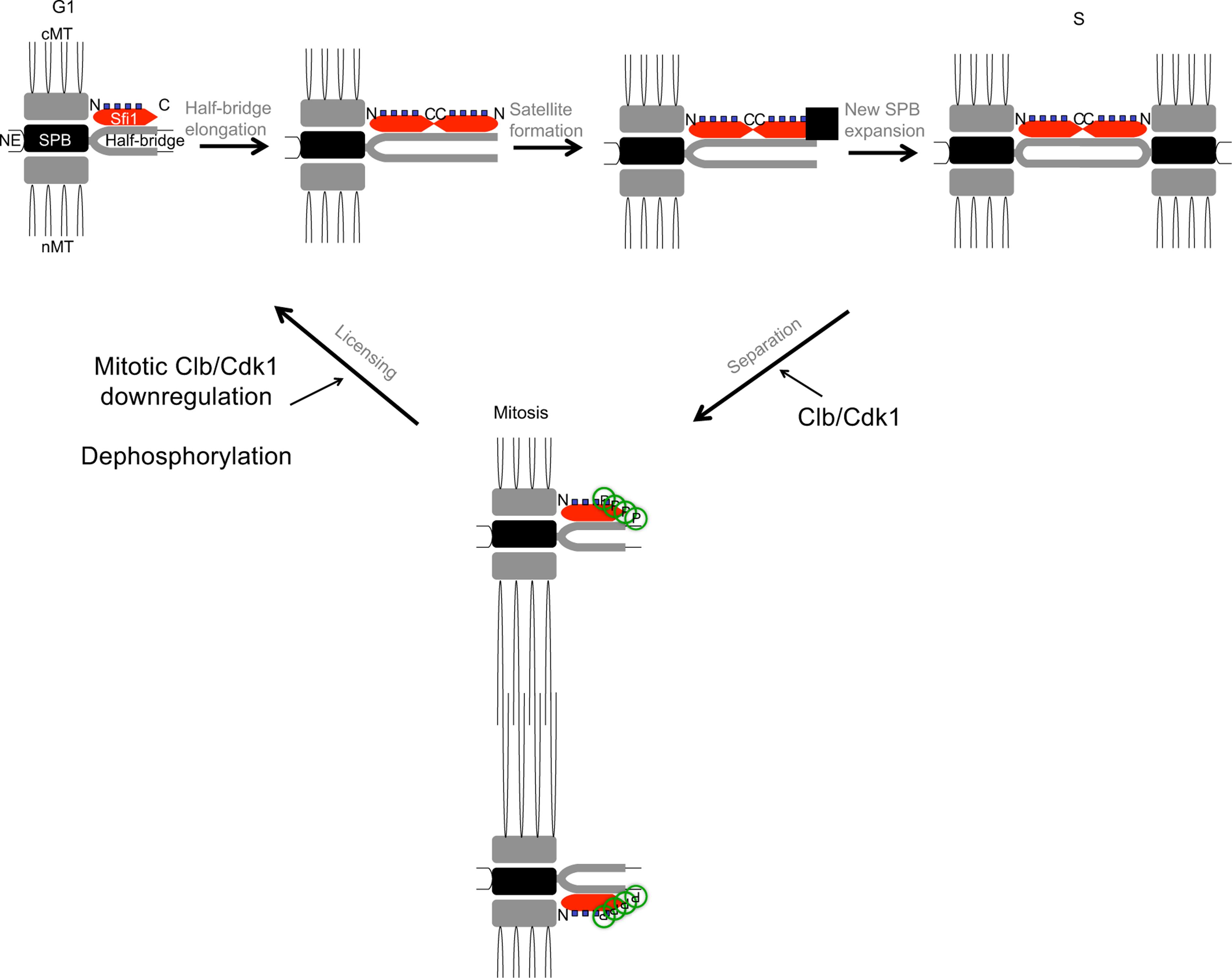 Model for licensing of yeast centrosome duplication via phosphoregulation of Sfi1.