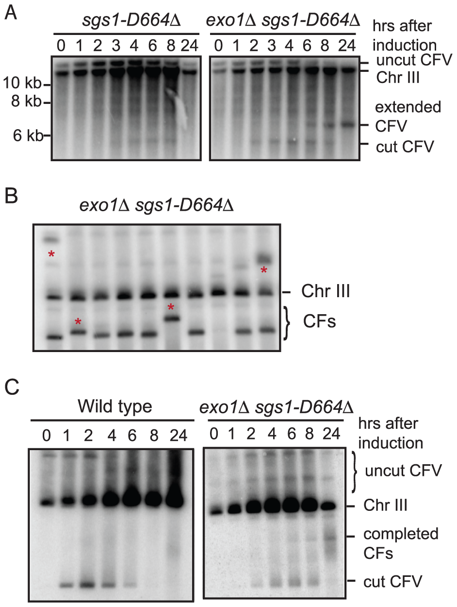 Physical analysis of BIR in the <i>exo1Δ sgs1D664Δ</i> double mutant.