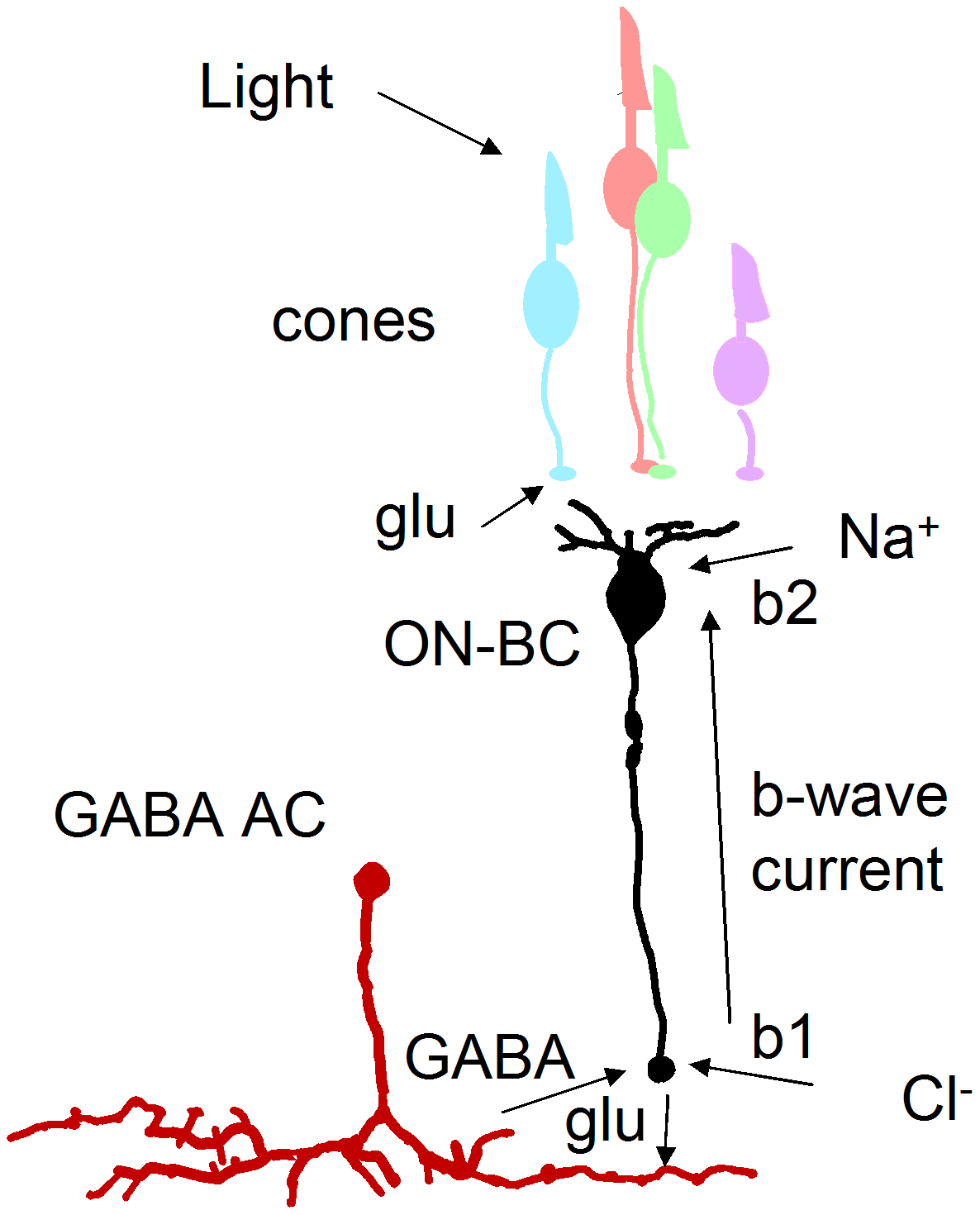 GABA-dependent mechanism for enlarged b-wave.
