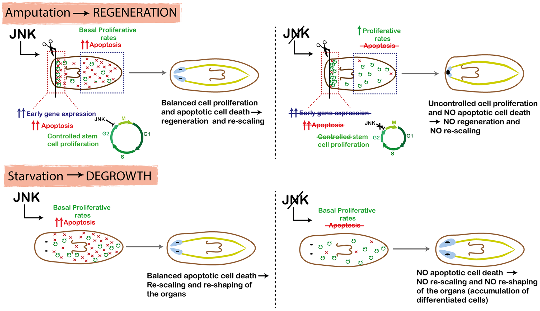 Schematic showing role of JNK in planarian regeneration and homeostatic degrowth.