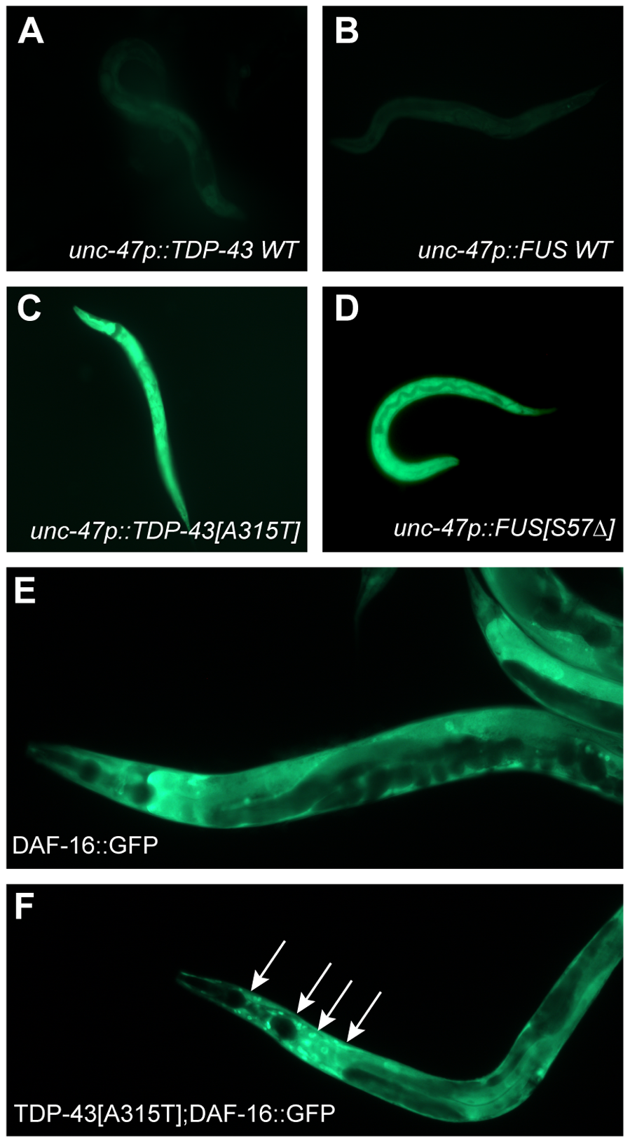 Mutant TDP-43 and FUS increase oxidative stress.