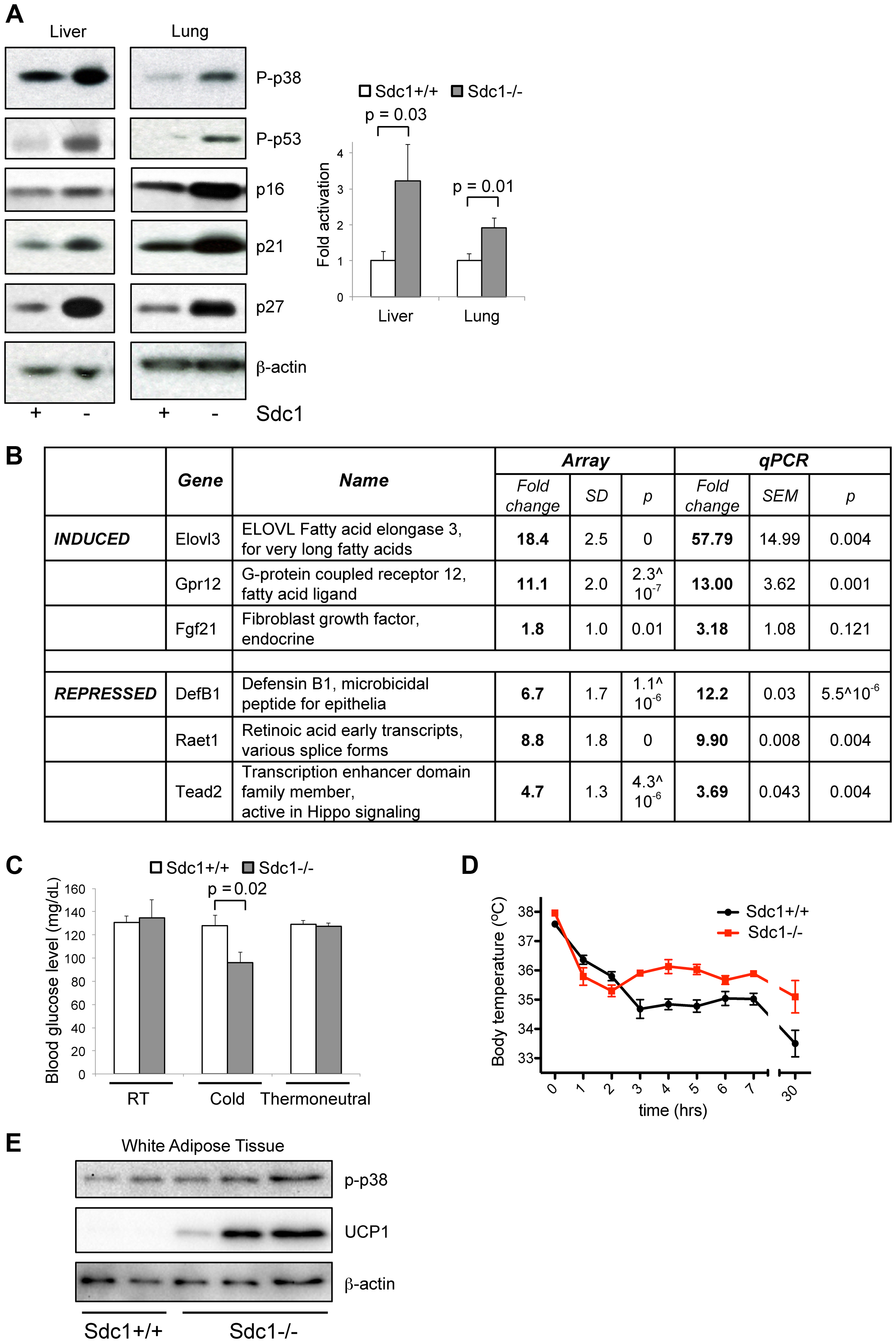 <i>Sdc1−/−</i> mice show systemic hyper-activation of p38α, and other metabolic markers of cold stress.