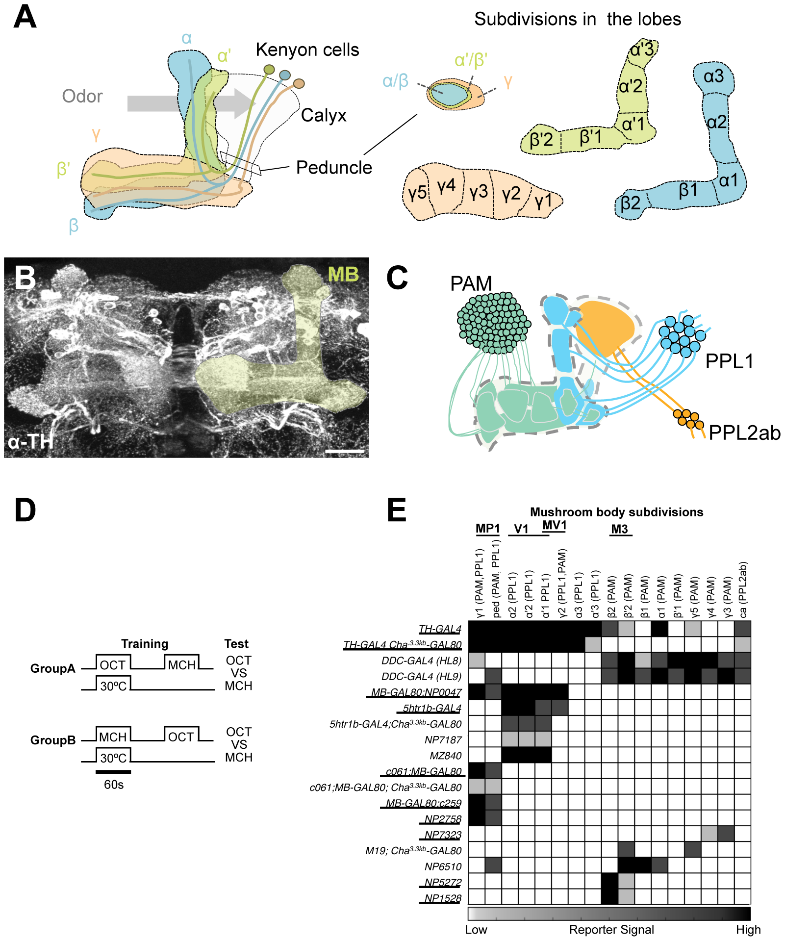 GAL4 drivers for dopaminergic neurons that project to the mushroom body.