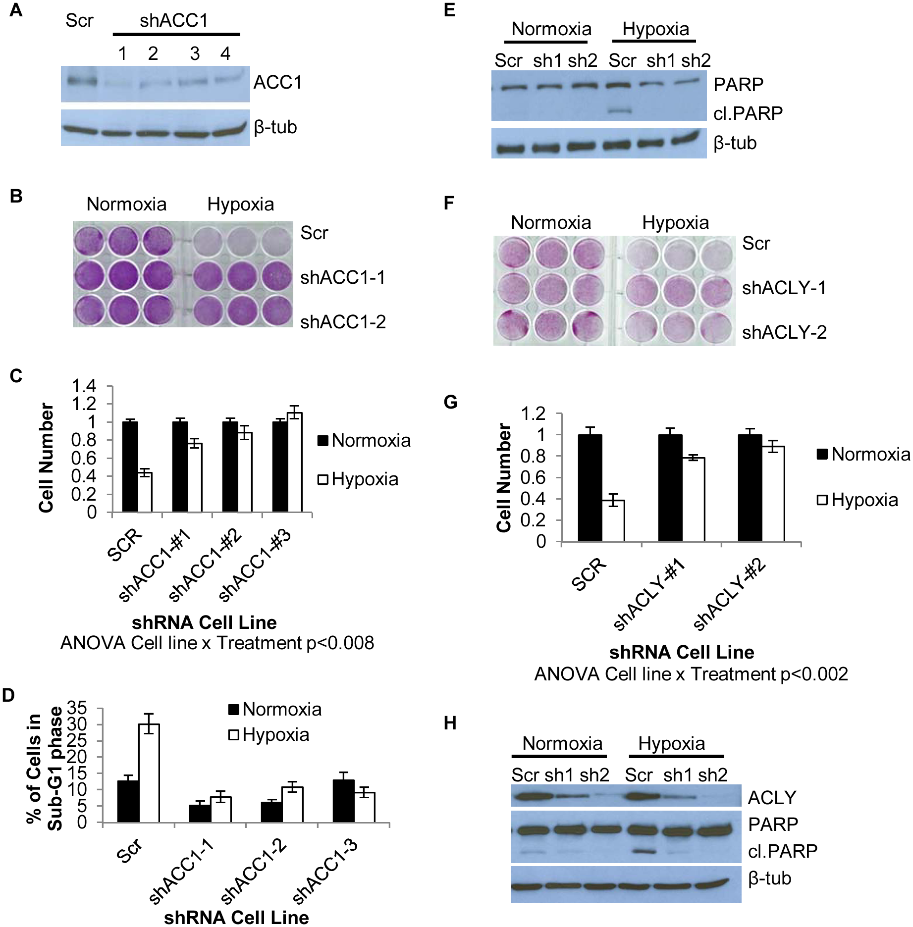 Depletion of ACC1 or ACLY protects cells from hypoxia-induced apoptosis.