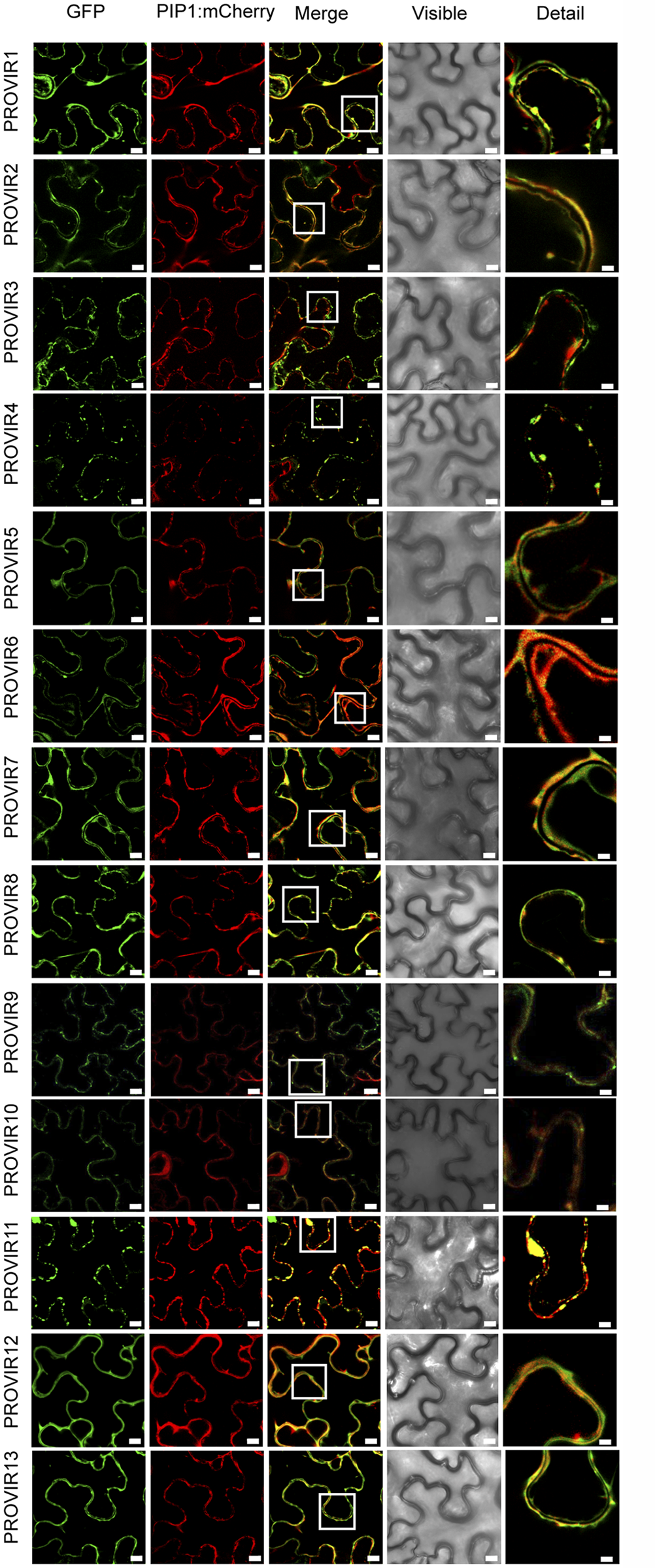 Localization of different PROVIR-GFP proteins in <i>N</i>. <i>benthamiana</i> leaves and protein co-localization with the plasma membrane marker protein PIP-mCherry by confocal microscopy.