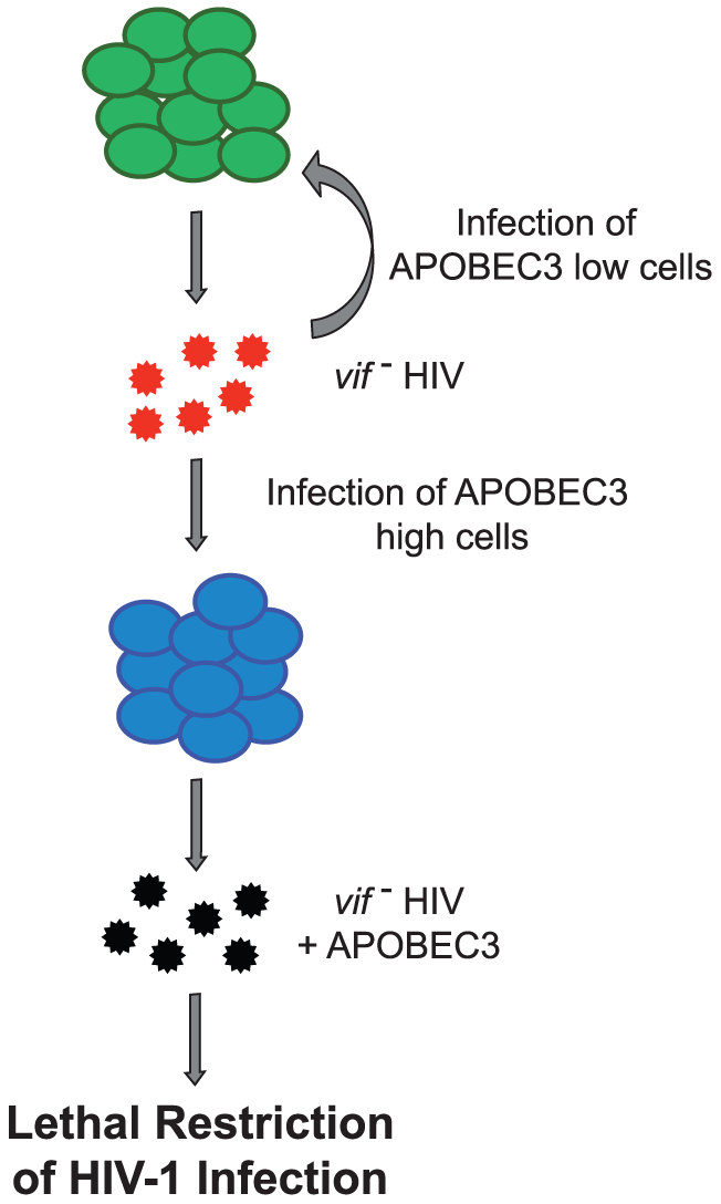 Model depicting sustained <i>in vivo</i> replication of HIV<sub>LAI</sub>Δ<i>vif</i>.