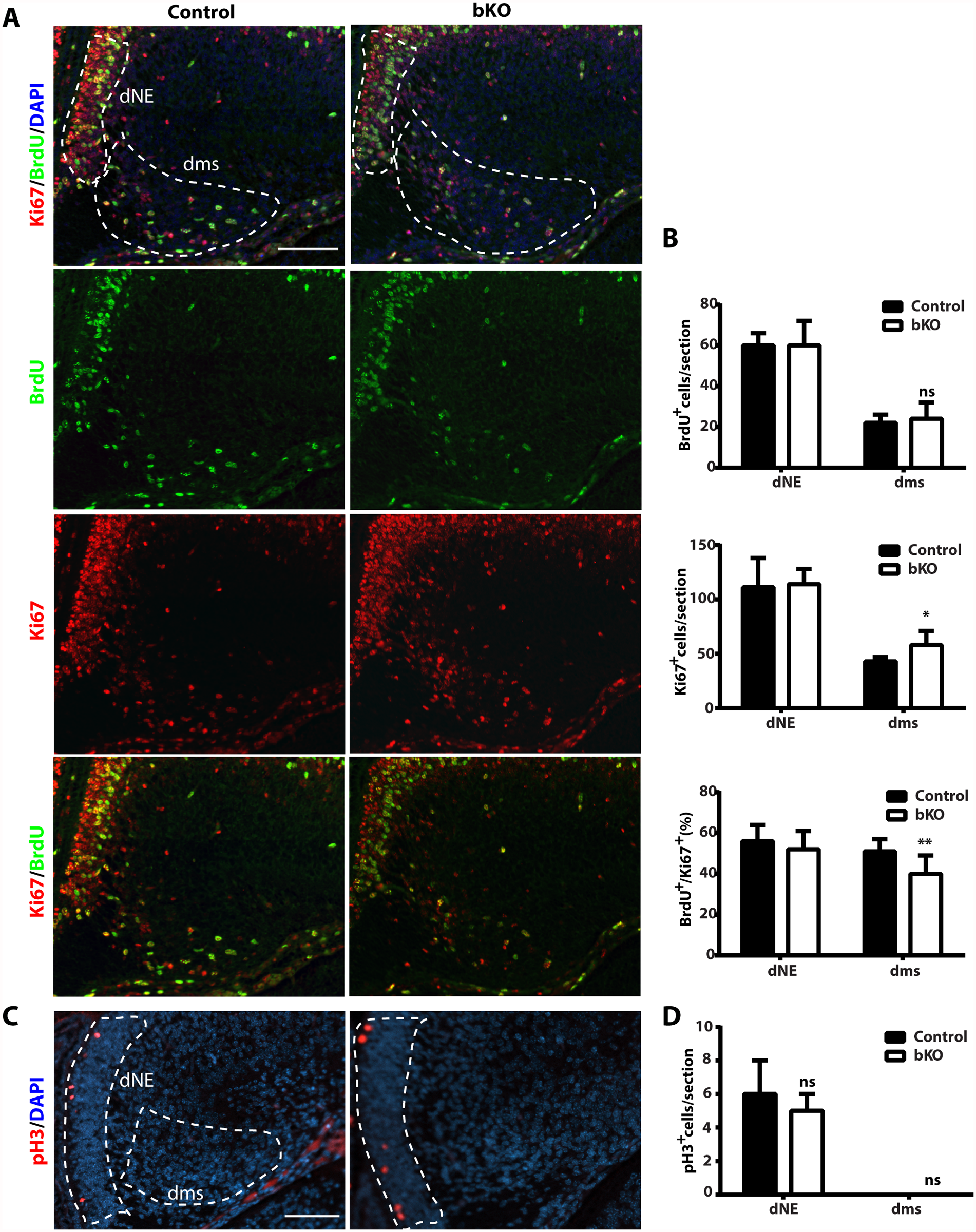 Cell cycle properties and progenitor number in the mutant dentate gyrus.