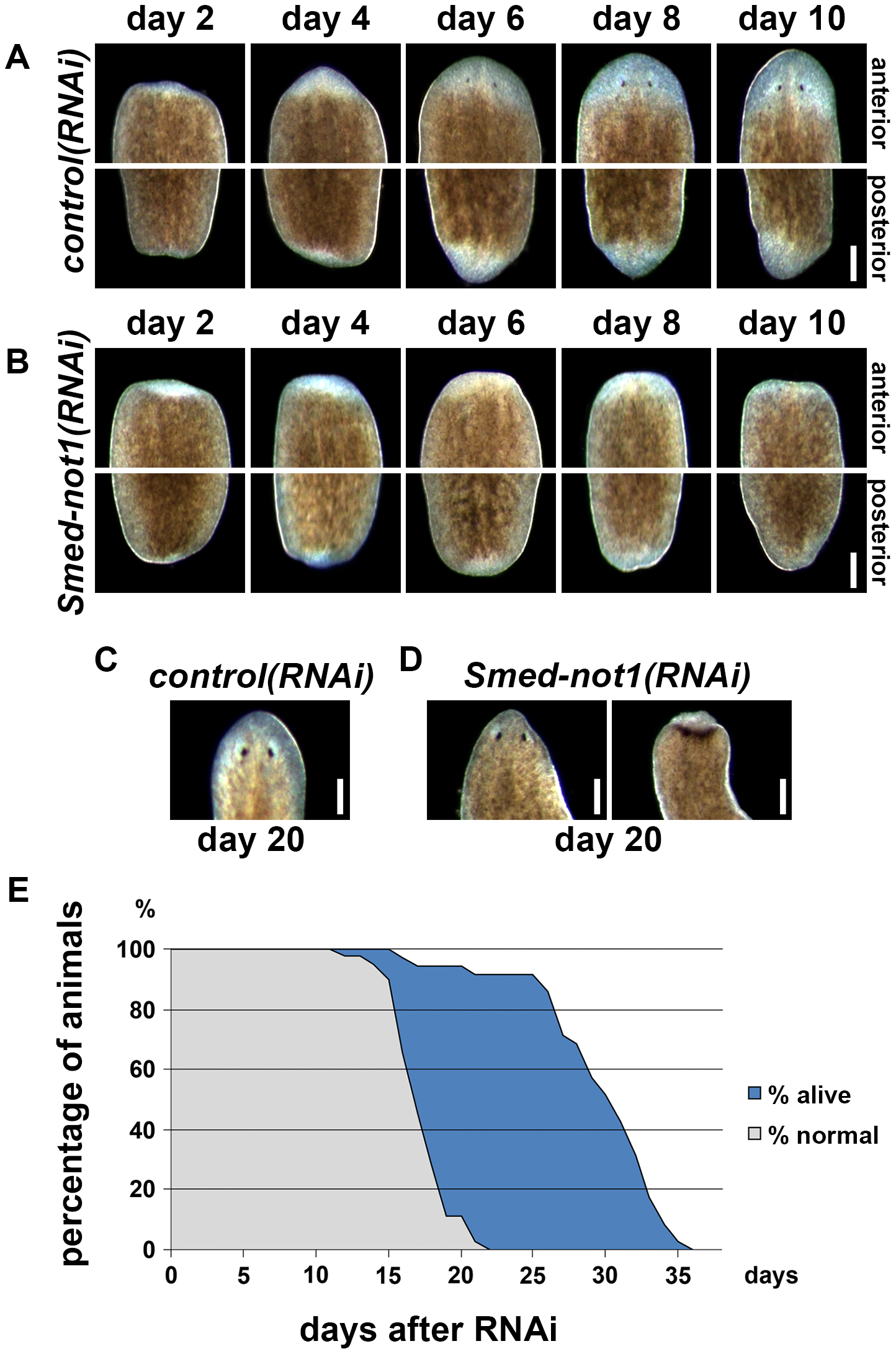 <i>Smed-not1</i> is required for planarian regeneration and homeostatic cell turnover.