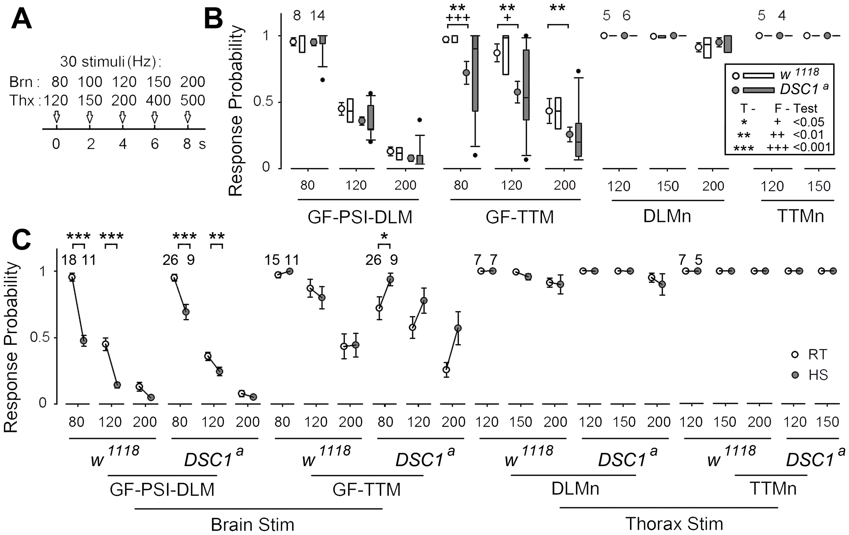 Localization of altered responses to high-frequency stimulation in the DLM and TTM branches in <i>DSC1</i> knockout flies at room temperature and following heat stress.