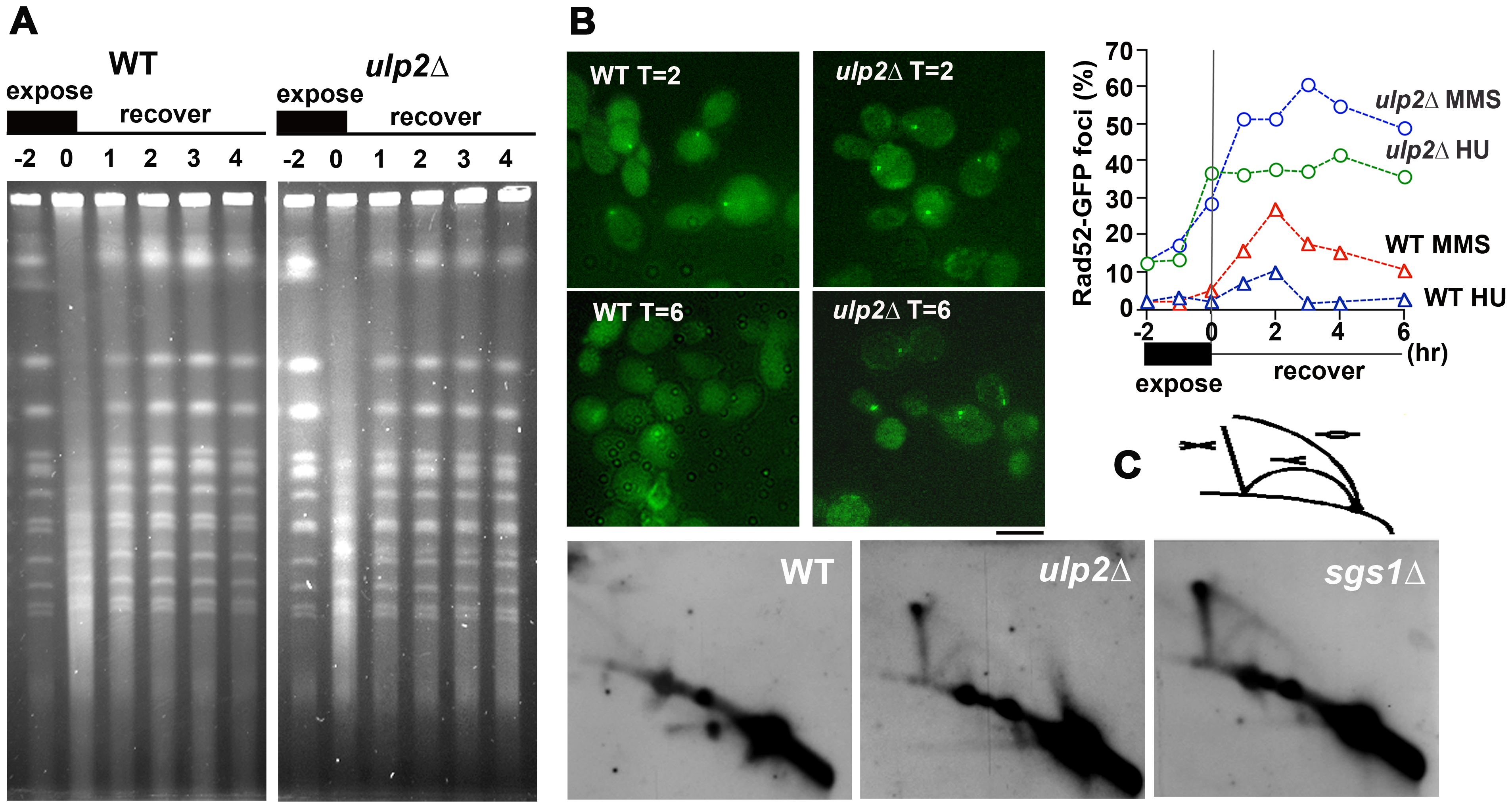 MMS–induced HR in <i>ulp2</i>Δ <b>mutants.</b>