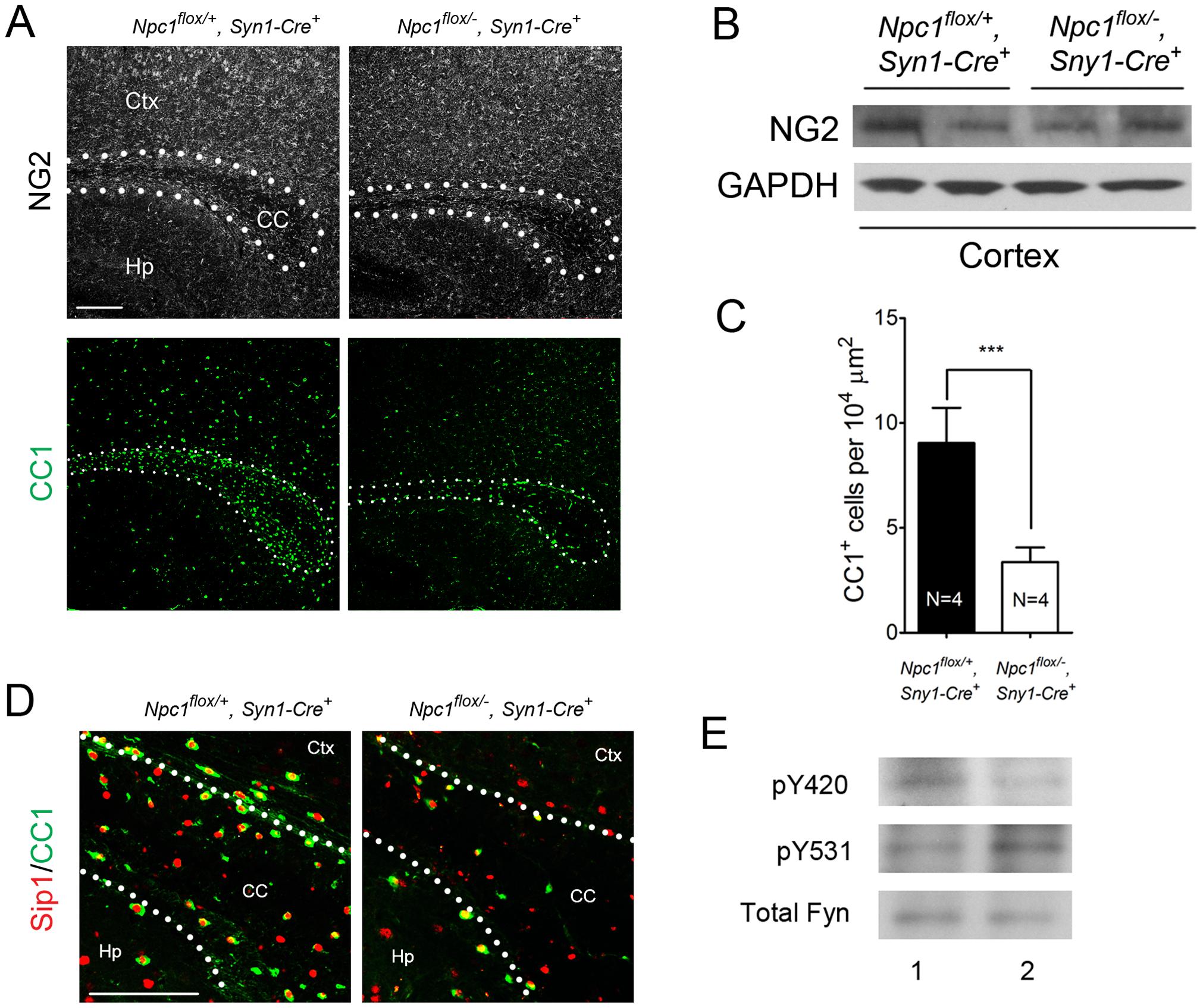 Neuron-specific deletion of <i>Npc1</i> leads to blockade of oligodendrocyte maturation.