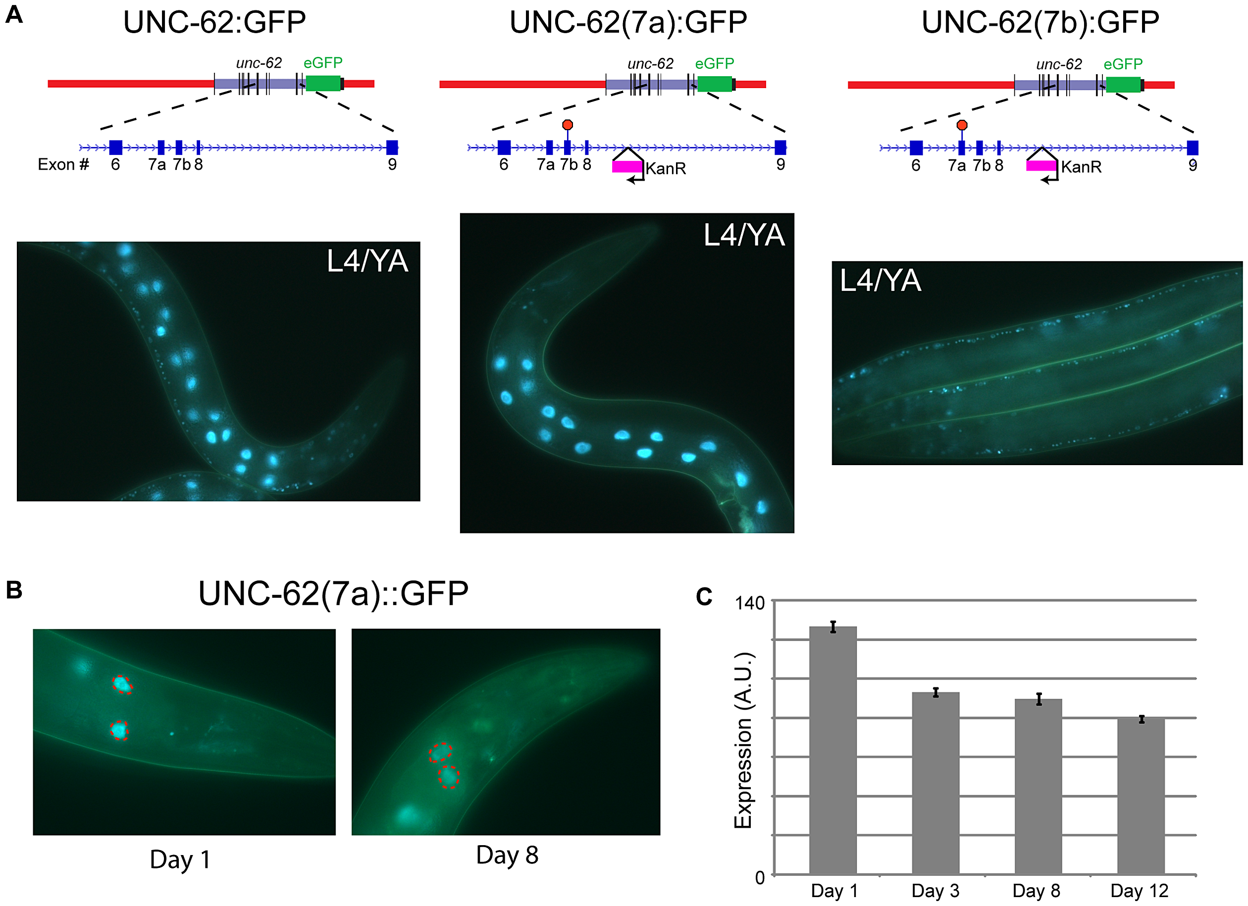 Alternative splicing of UNC-62 generates intestine-specific <i>unc-62(7a)</i> and neuronal/hypodermal-specific <i>unc-62(7b)</i> isoforms.