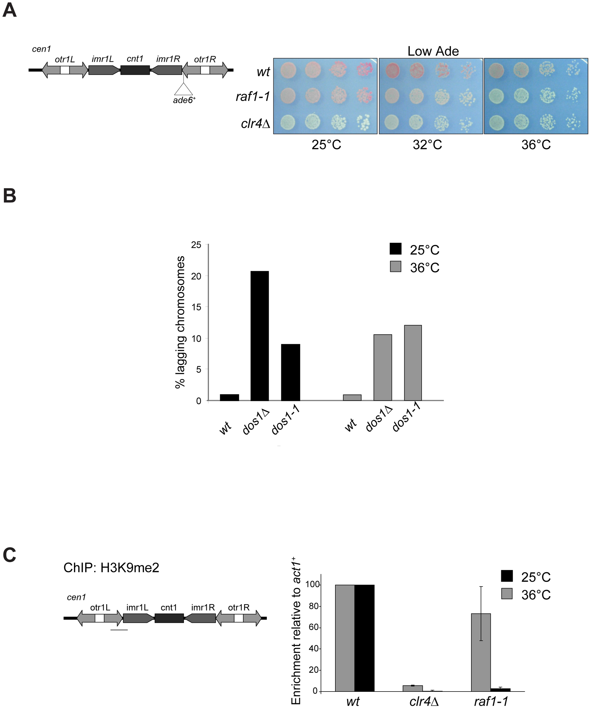 <i>raf1-1</i> conditionally disrupts heterochromatin.