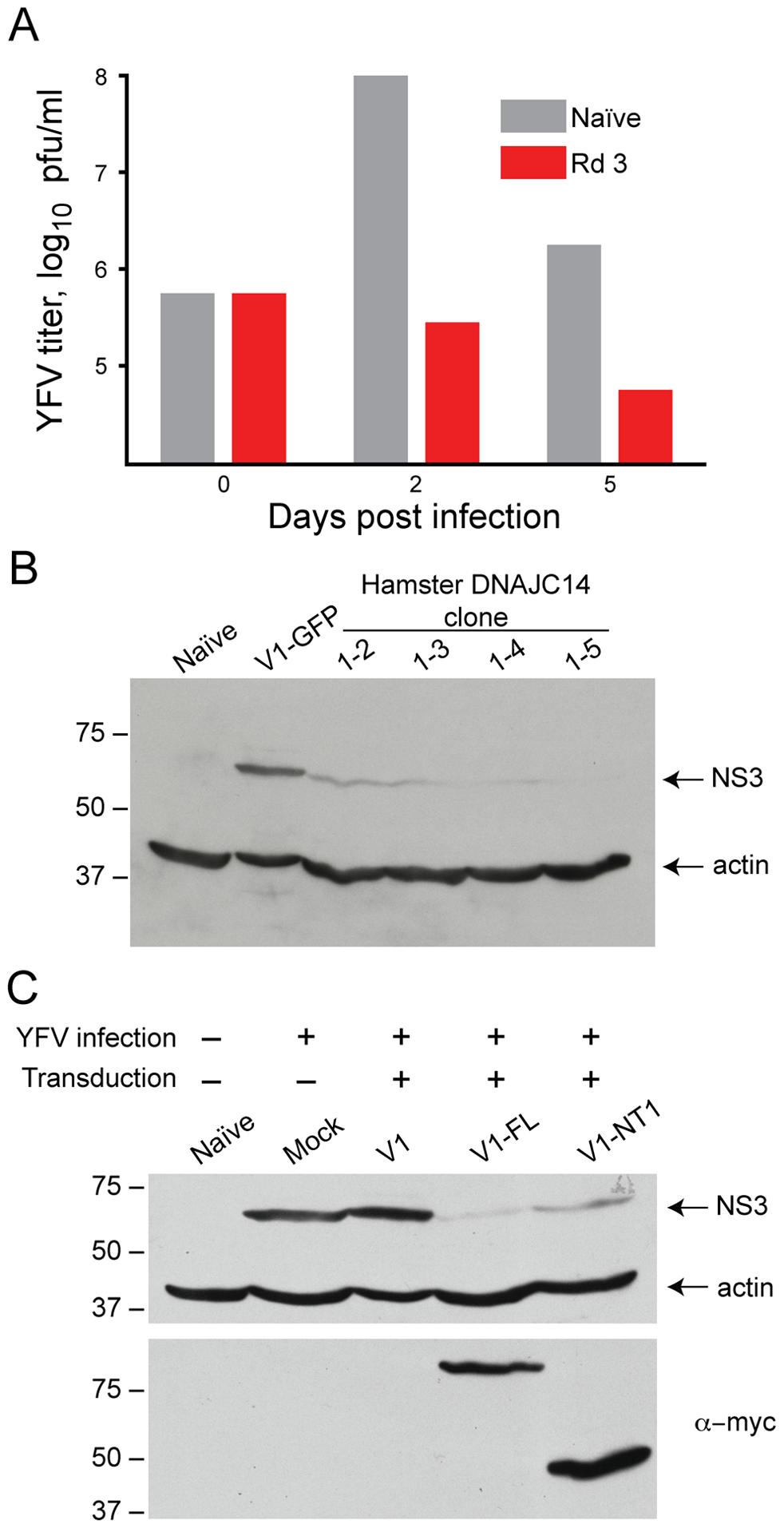 DNAJC14 inhibits YFV replication.