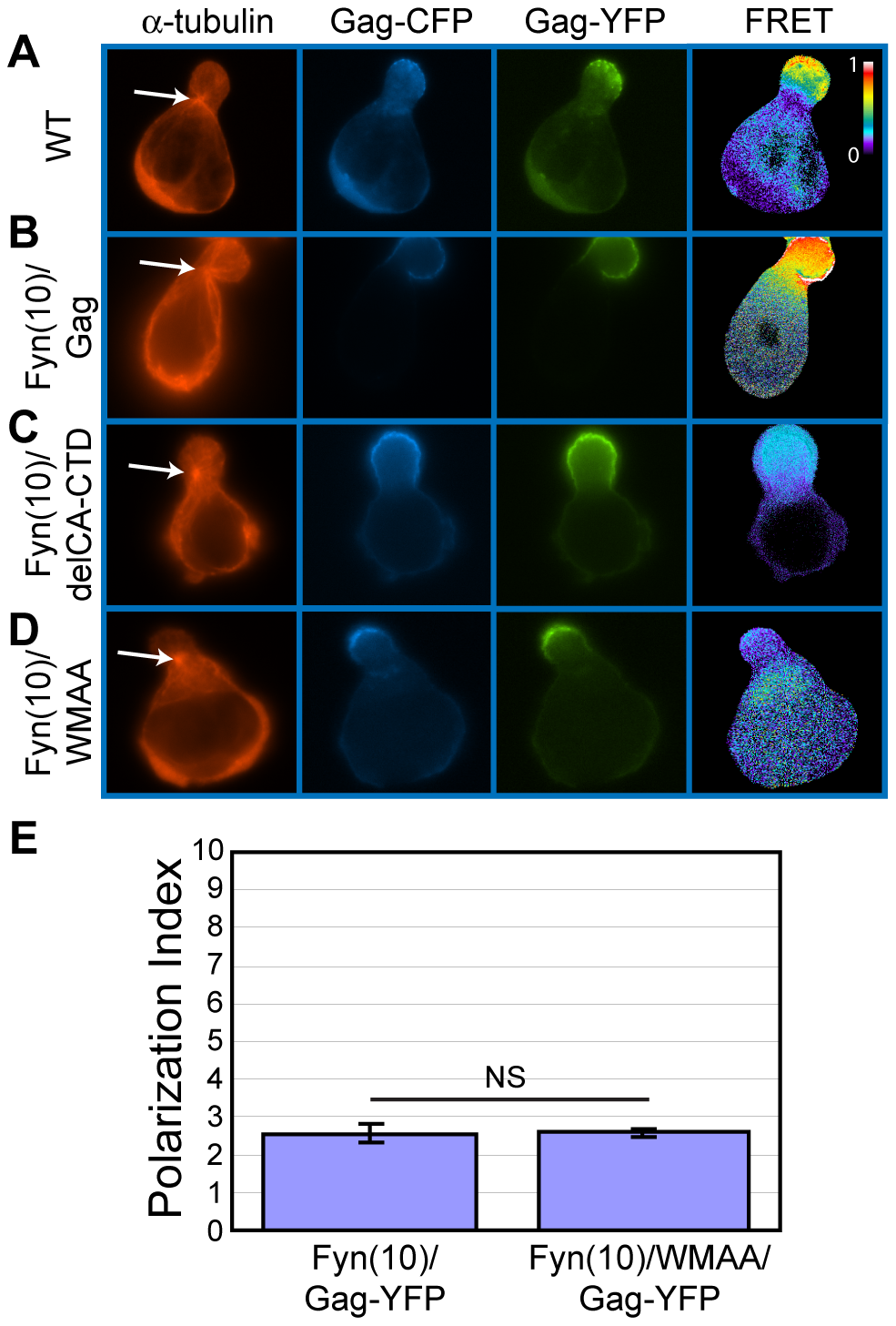 CA-mediated dimerization is not required for Gag localization to the uropod.