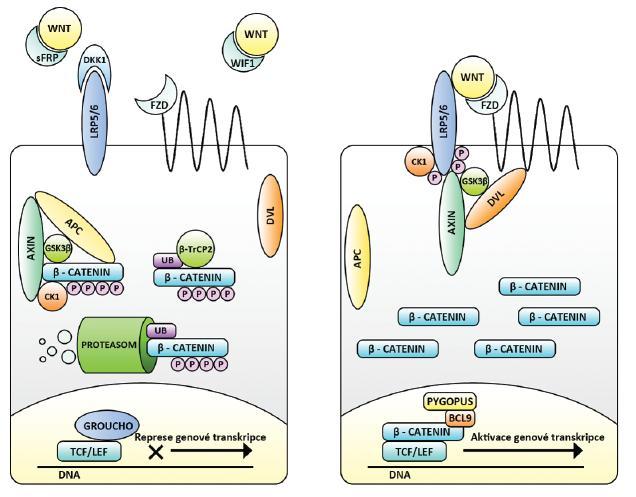 Kanonická Wnt signalizace v cílové buňce – vlevo neaktivní, vpravo aktivní. Nejsou-li Wnt vázány na membránové receptory FZD a LRP (např. pro přítomné sekreční inhibitory sFRP, WIF a DKK), je volná cytoplazmatická hladina ß-kateninu snižována aktivitou ß-katenin degradačního komplexu (Axin, APC, CK1 a GSKß), E3-ligázy ß-TrCP2 a proteodegradačního aparátu buňky. TCF/LEF spolu s dalšími molekulami (např. Groucho) působí jako represory genové transkripce. Při vazbě Wnt na receptory dochází k fosforylačním změnám cytoplazmatické části LRP, k navázání Axinu a disociaci degradačního komplexu – za účasti proteinu Dvl. ß-katenin není degradován, přechází do jádra a mění TCF/LEF na aktivátory genové transkripce. Efekt je potencován dalšími molekulami (např. BCL9 a Pygopus).