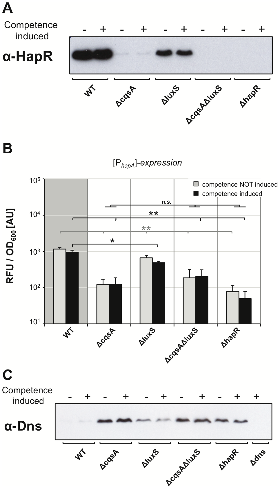 Correlation among HapR protein levels, <i>hapA</i> gene expression, and the nuclease Dns.