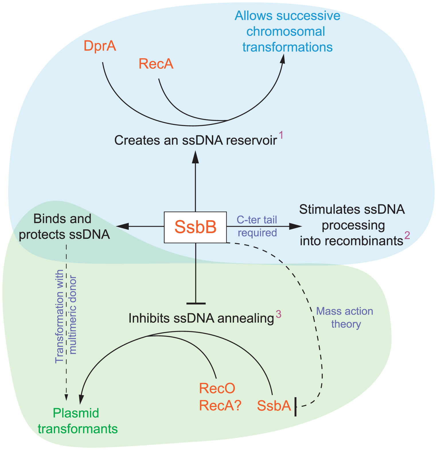 Diagrammatic representation of the roles of SsbB in competent cells of <i>S. pneumoniae</i>.